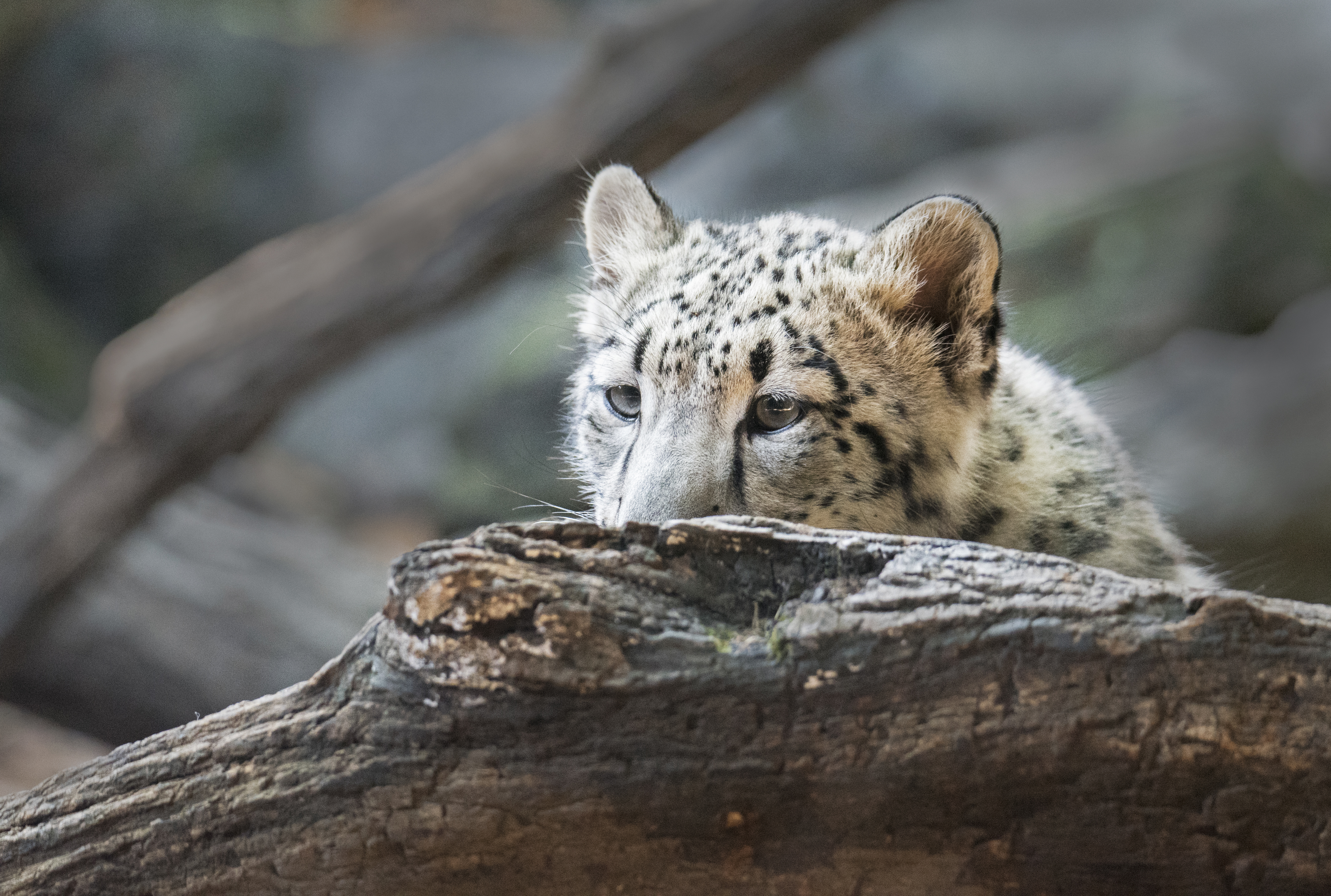Baby white Lepard looking over log