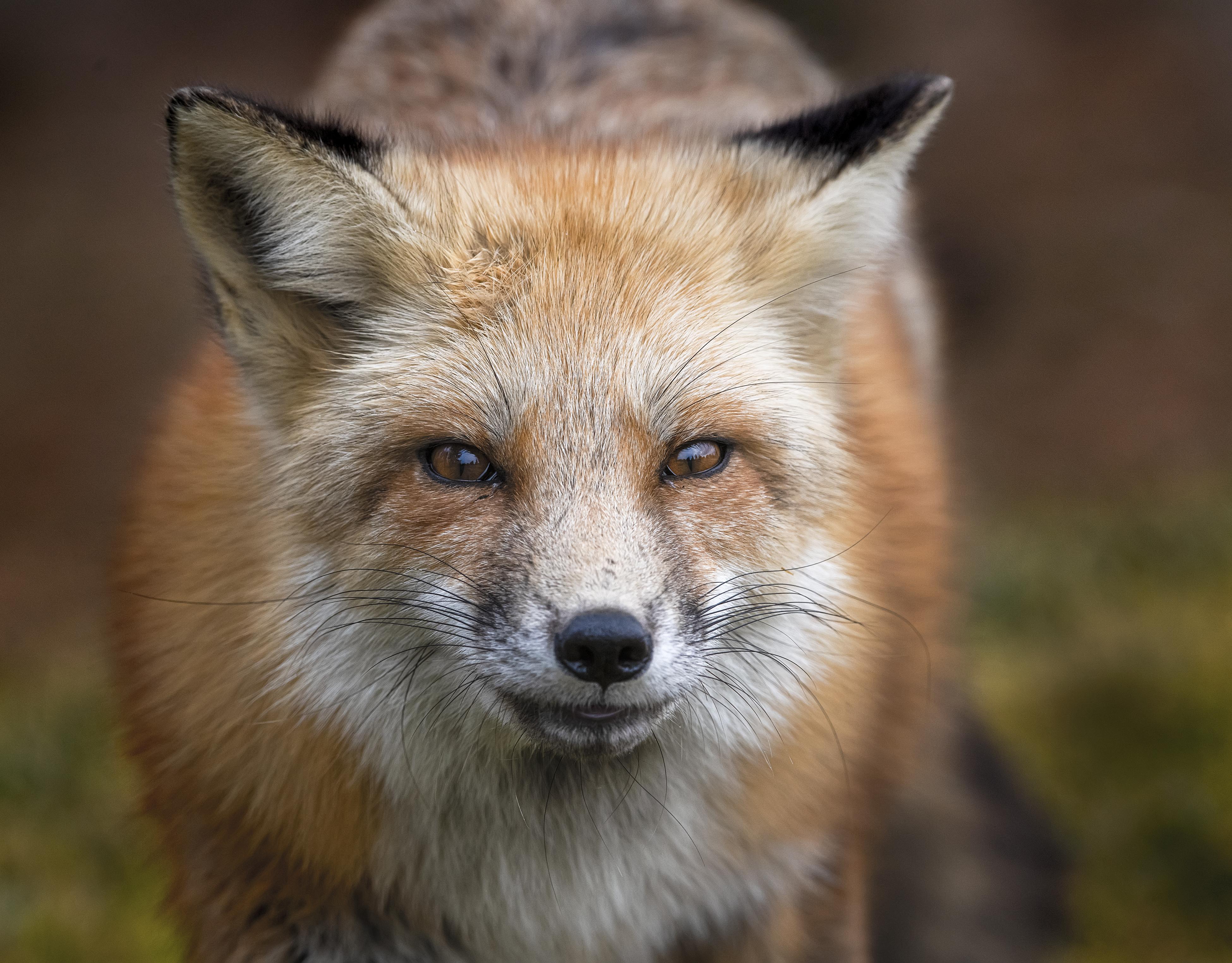 Female-Fox-Stare_8505946