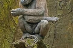 Baby Gorilla on pedistal