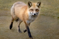 Female-Fox-Walking_8505912