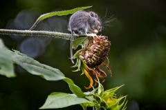 Field Mouse on Sunflower