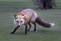 Fox-Stare_8506922