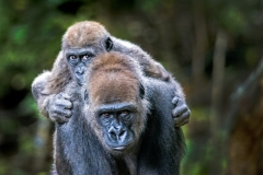 Gorilla baby on Mothers back