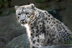 White lepard