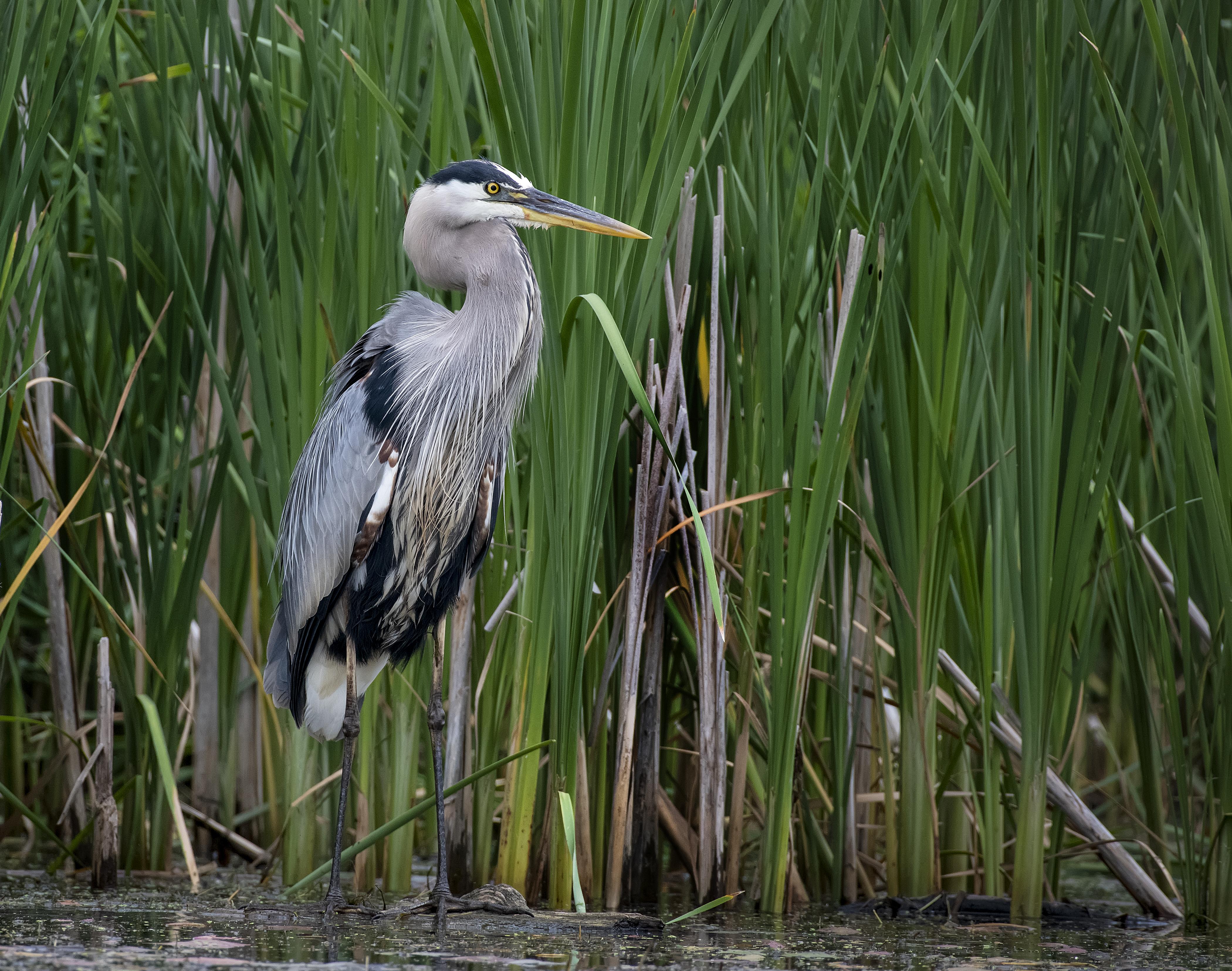 1_Great-Blue-Heron-in-Reeds