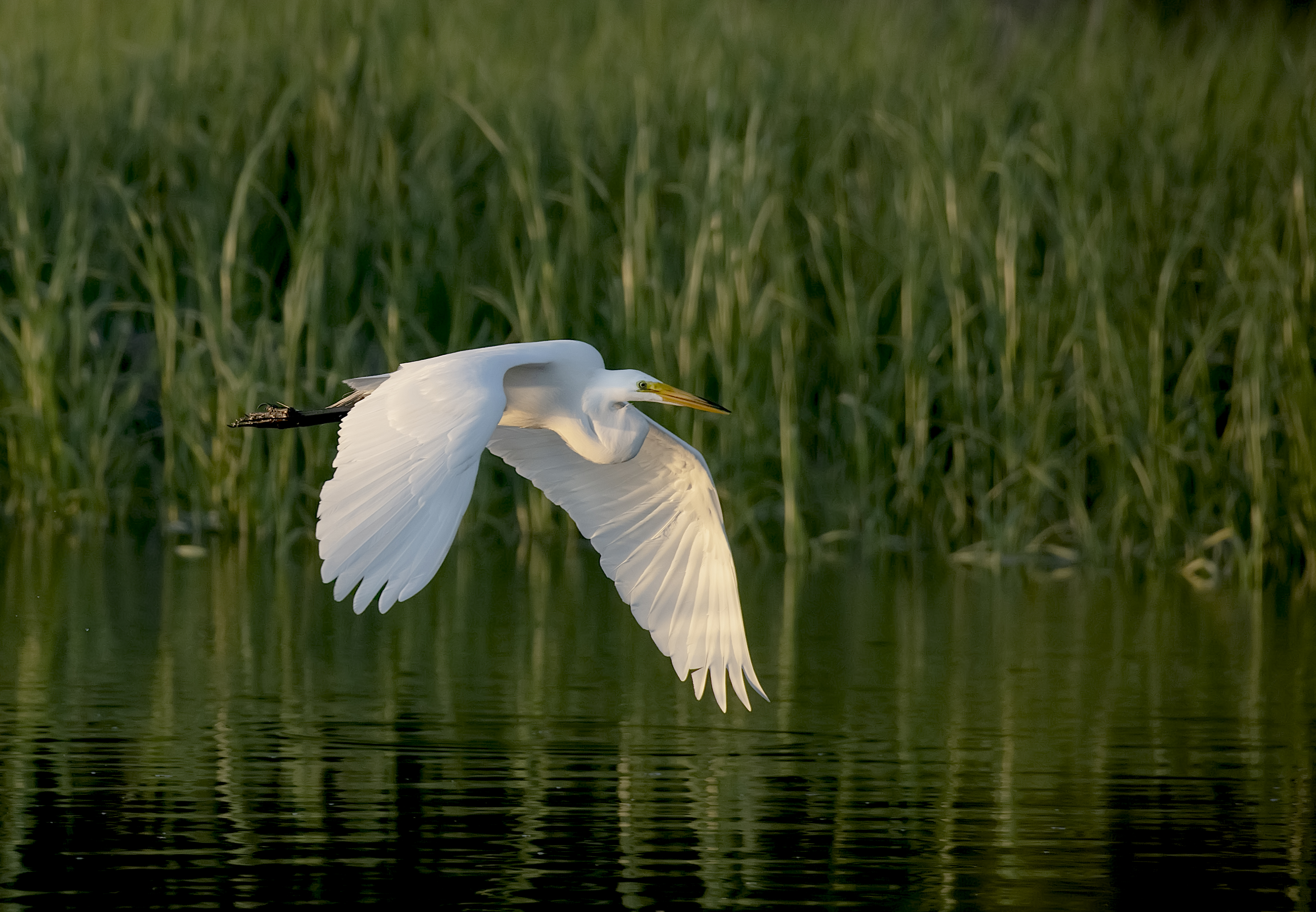 1_Great-Egret-Sunset-flight