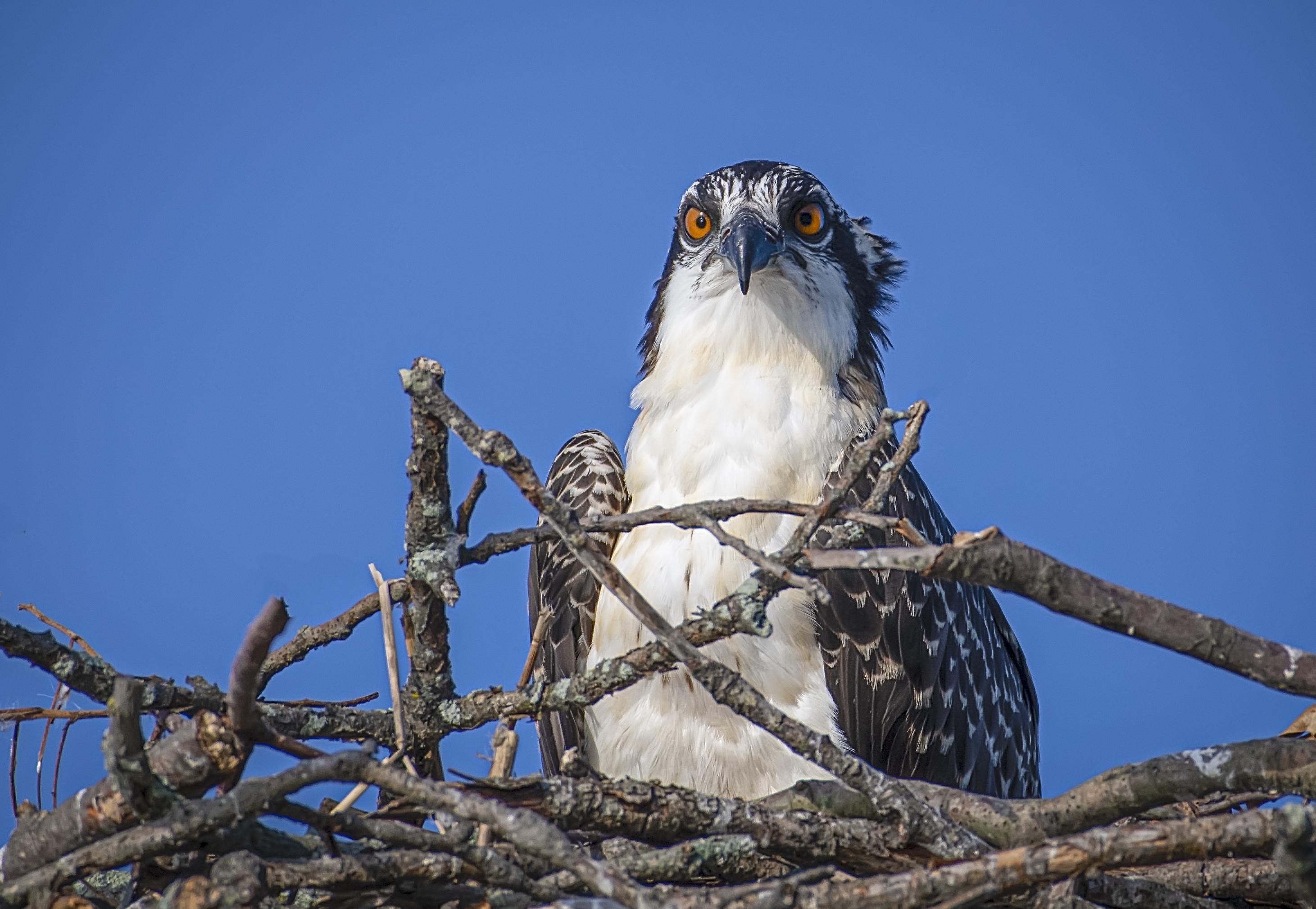 1_Juvenile-Osprey-Portrait