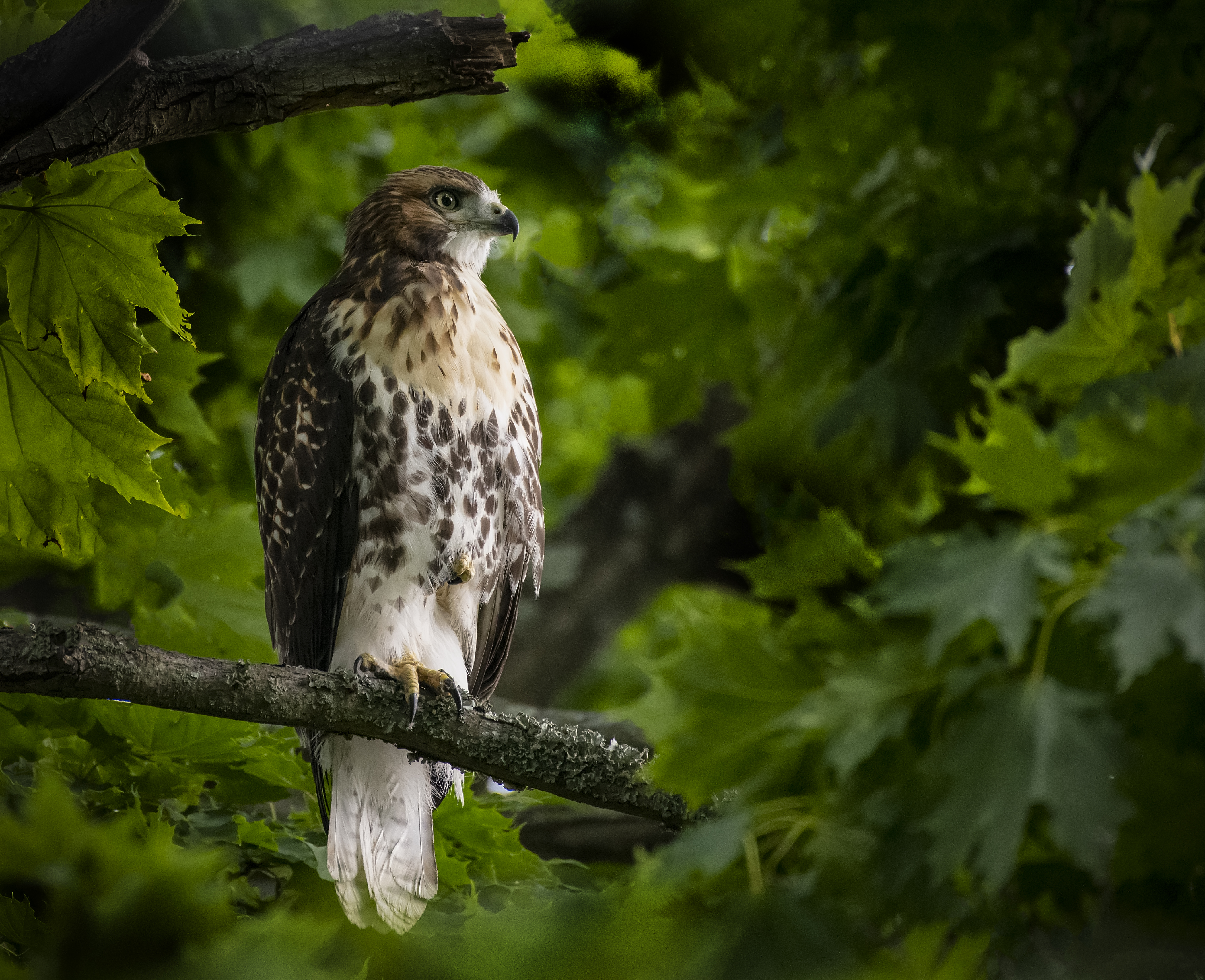 1_Red-Tailed-Hawk-in-Tree-pose