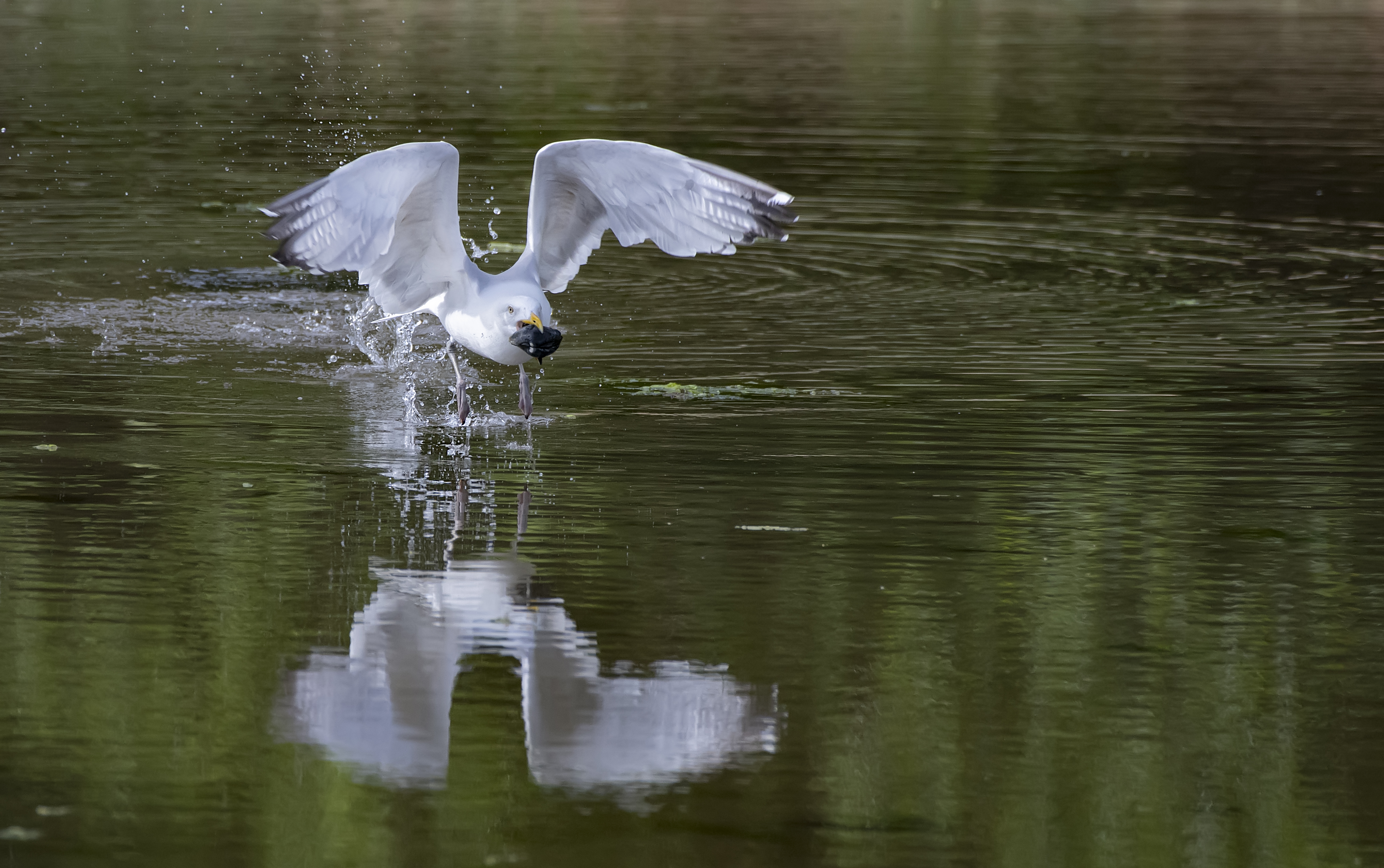 1_Seagul-with-Mussle-take-off