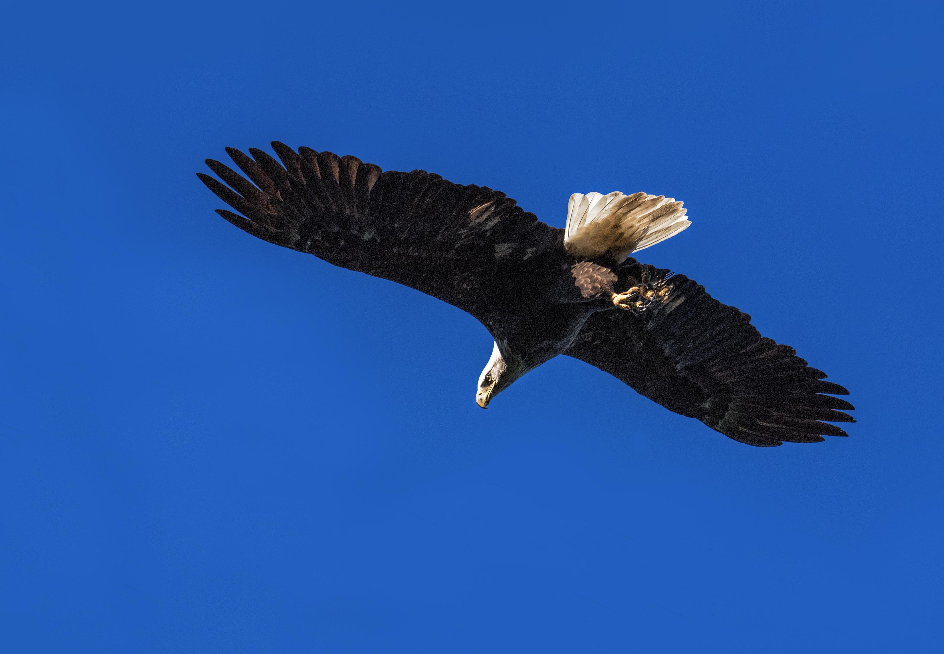 Bald Eagle flying S