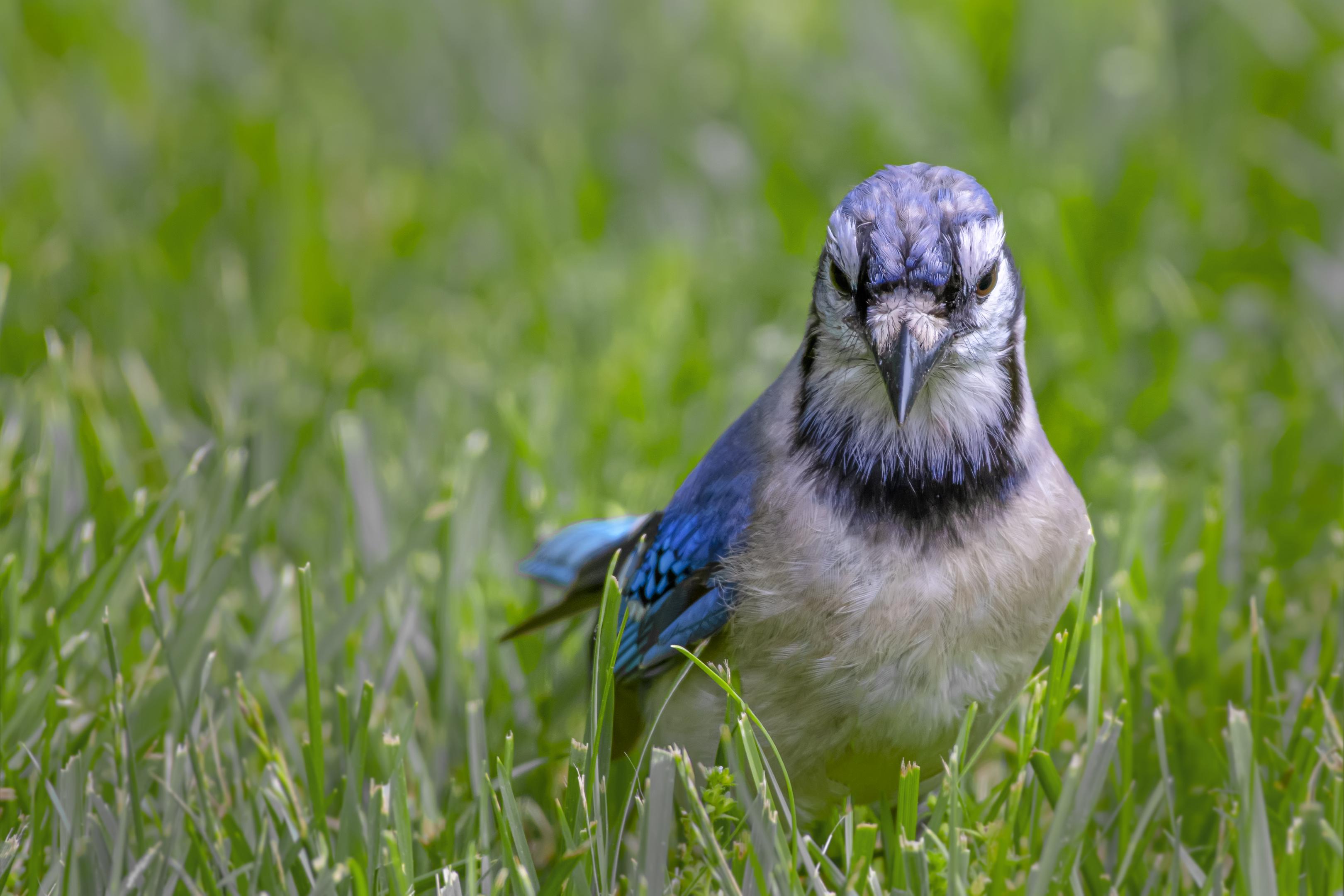 Blue-Jay-face-on