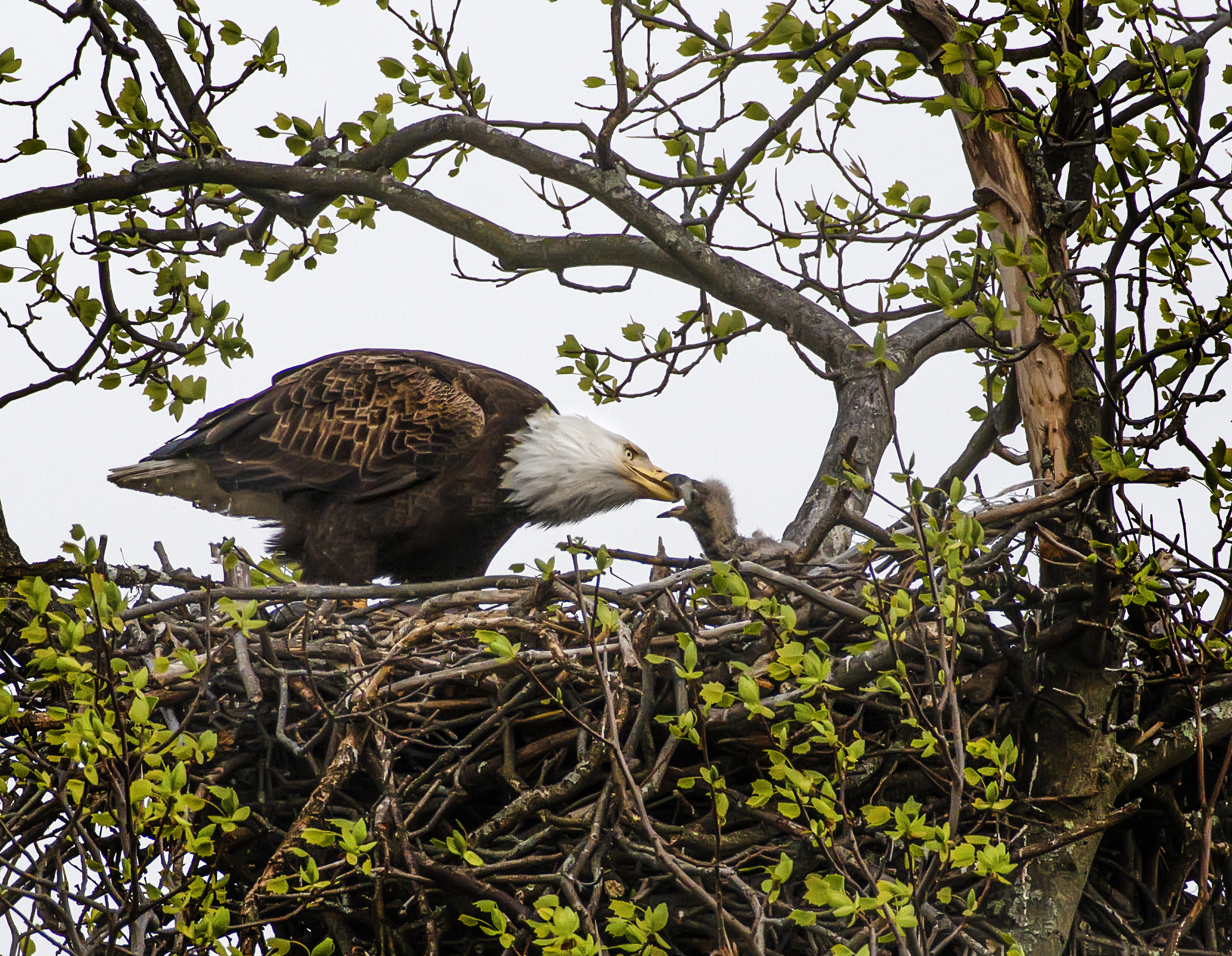 Eagle-feeding-Chick_8508083