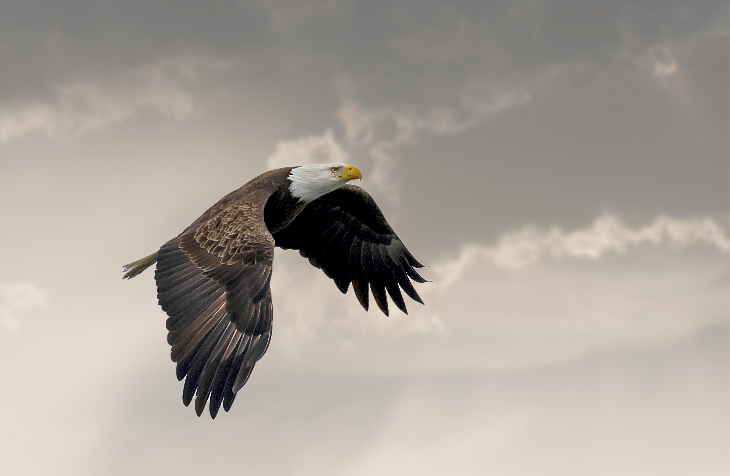 Eagle-in-flight-in-clouds
