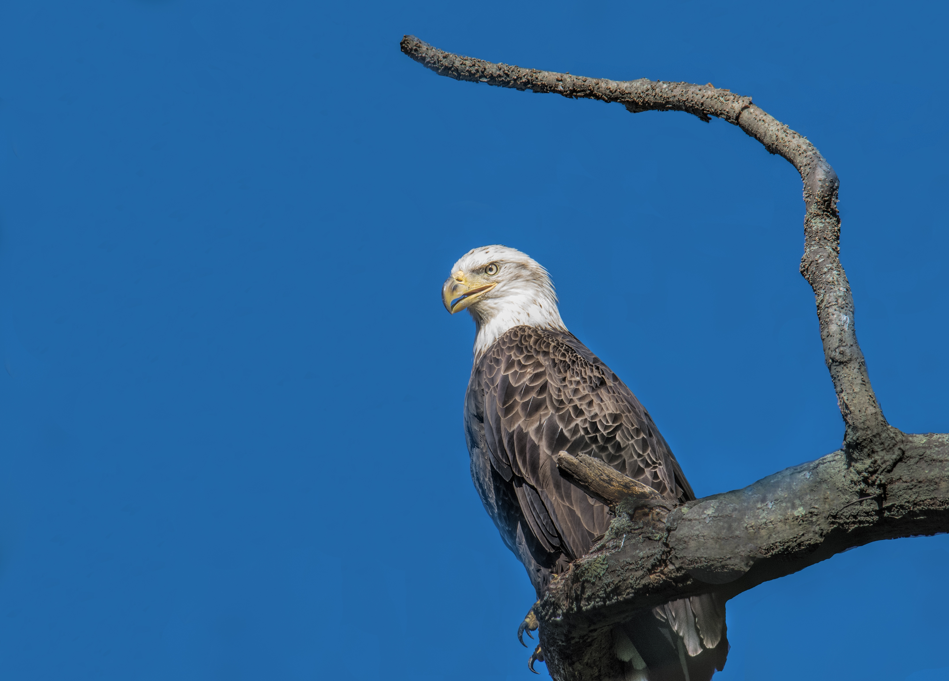 Eagle with Branch S