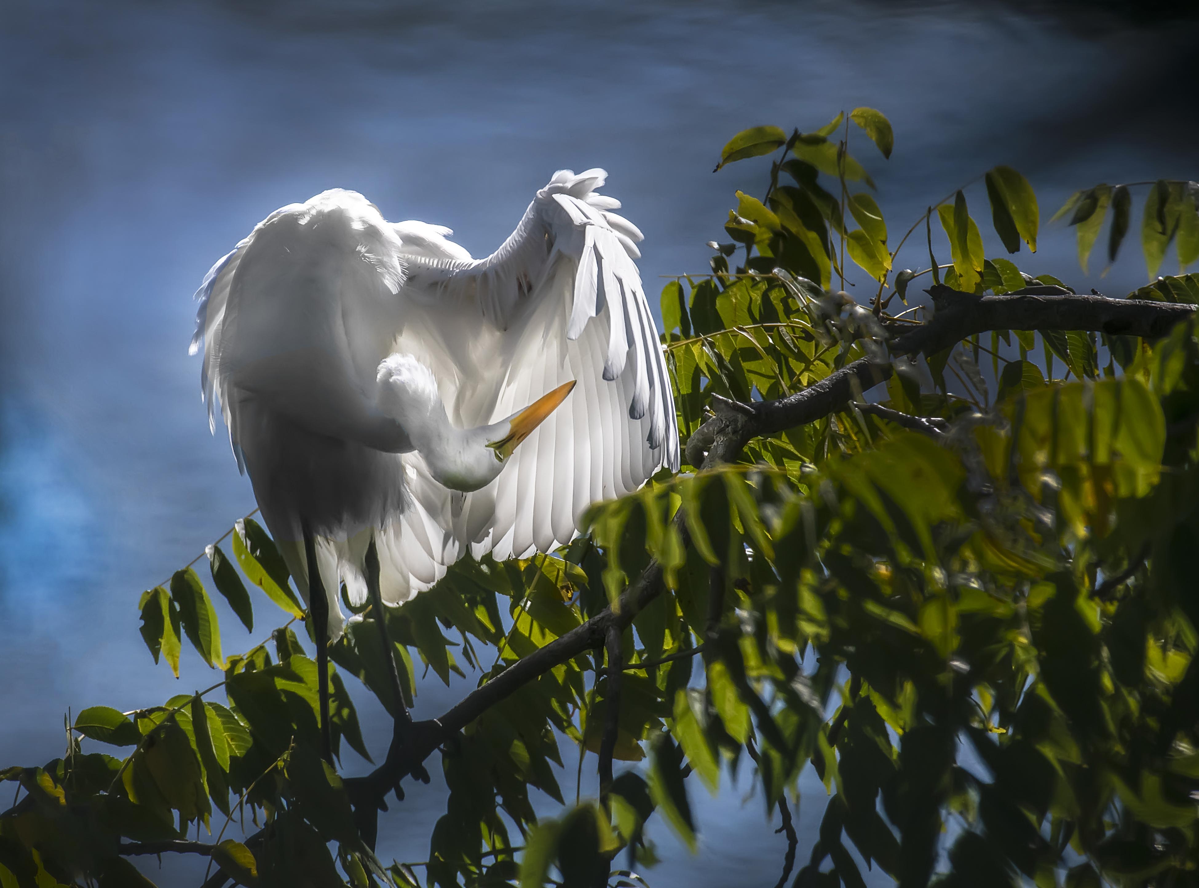 Egret-Preening-in-the-Sun