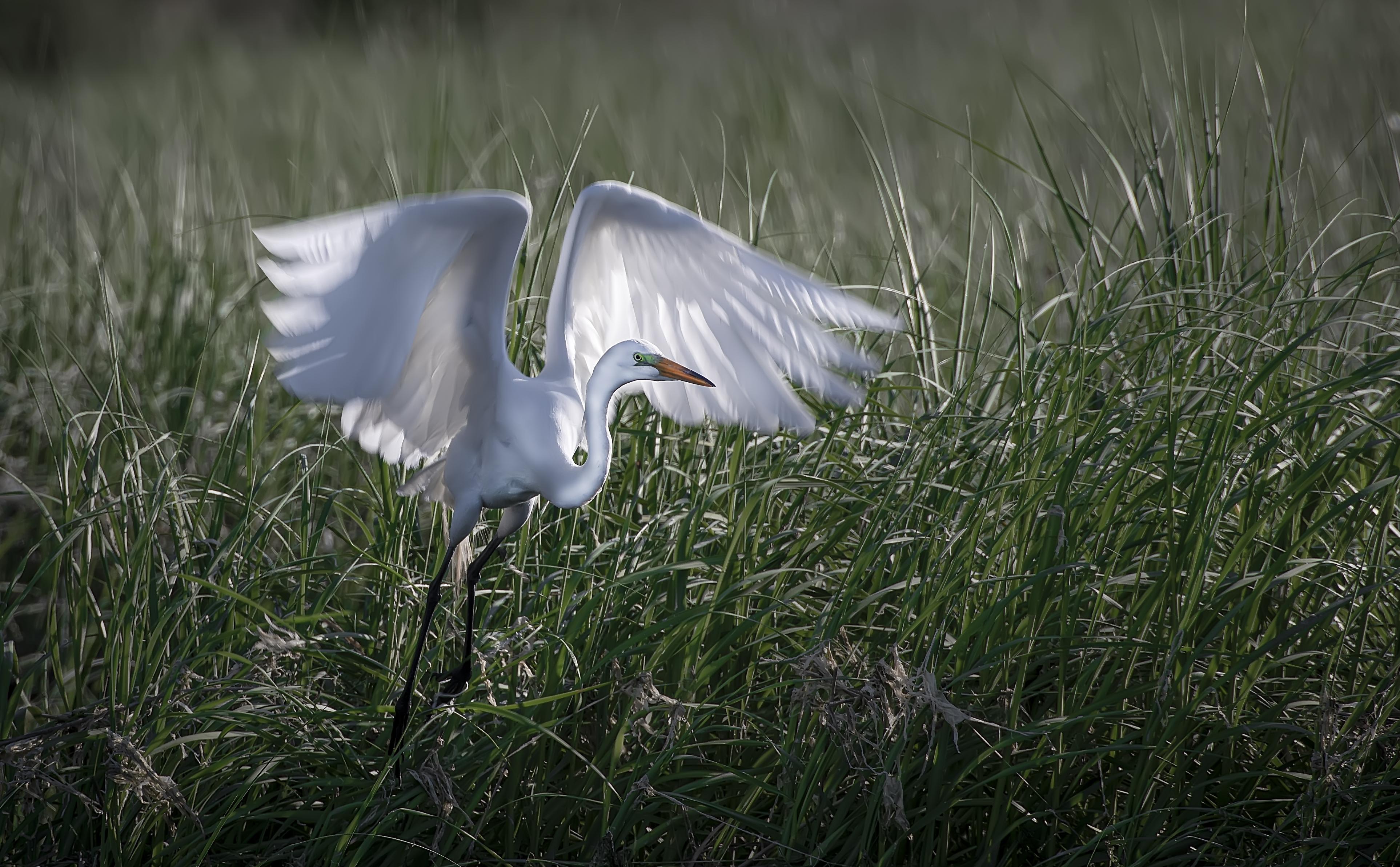 Egret-back-lit-taking-off