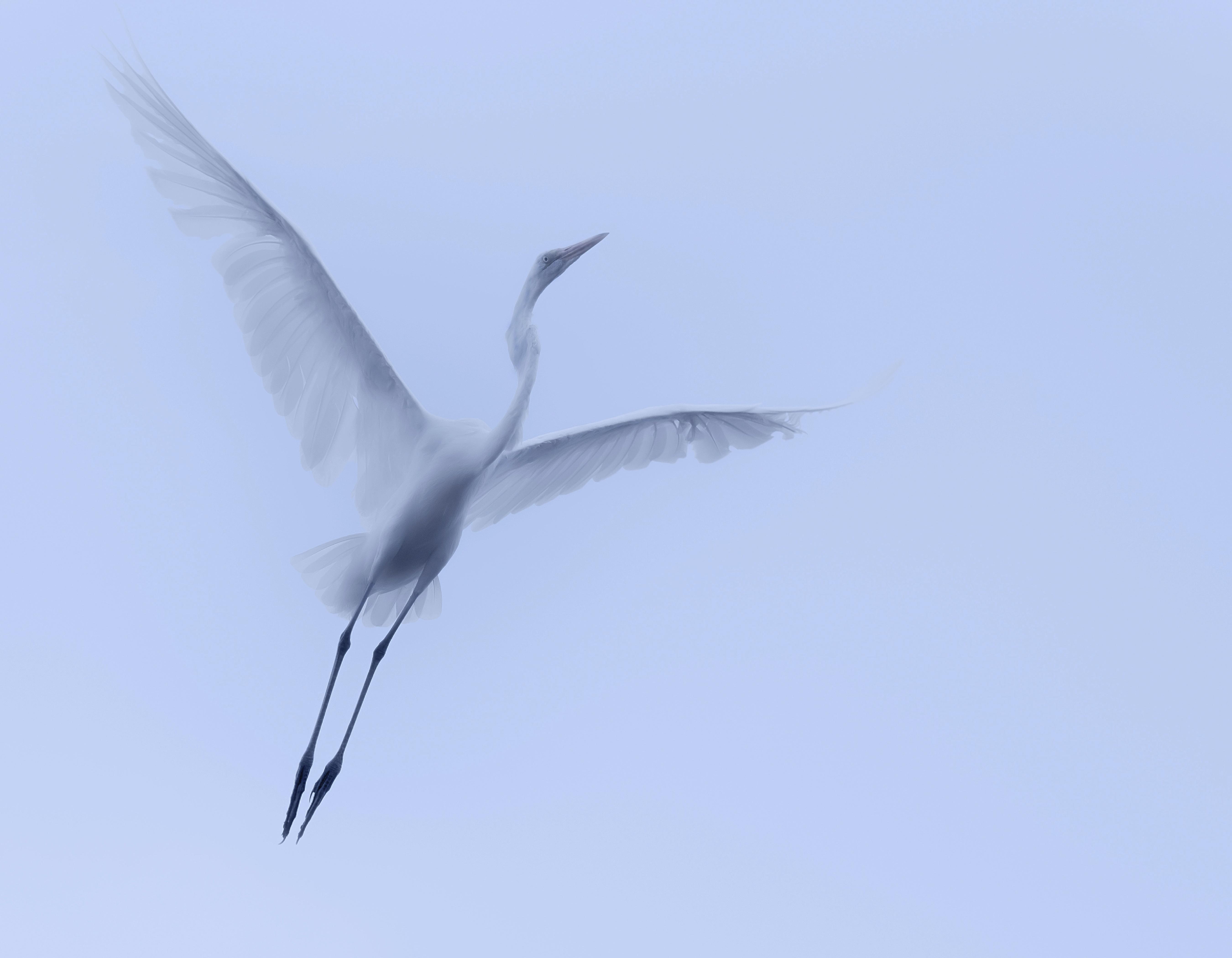 Egret in Flight High Key