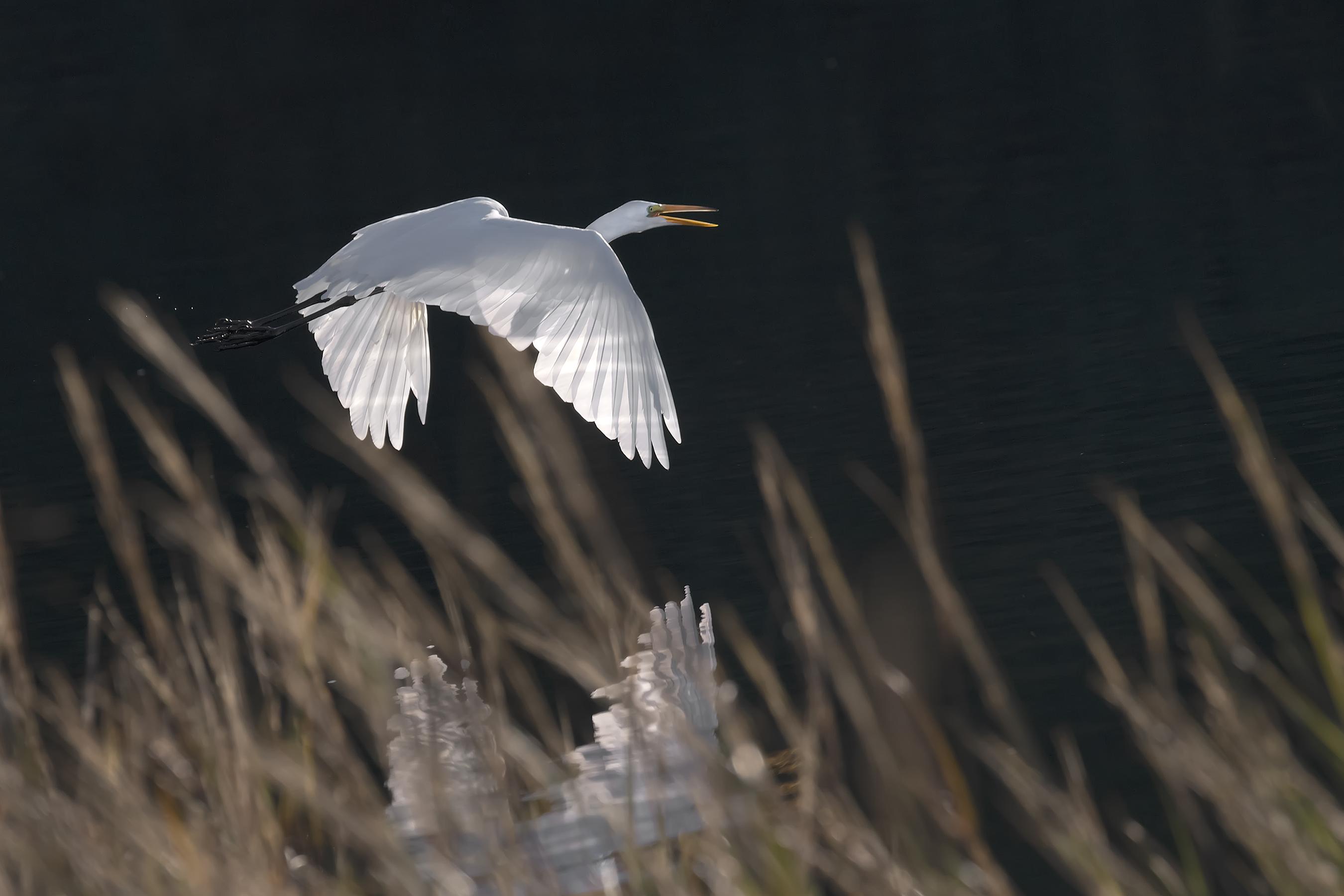 Egret-in-the-sun