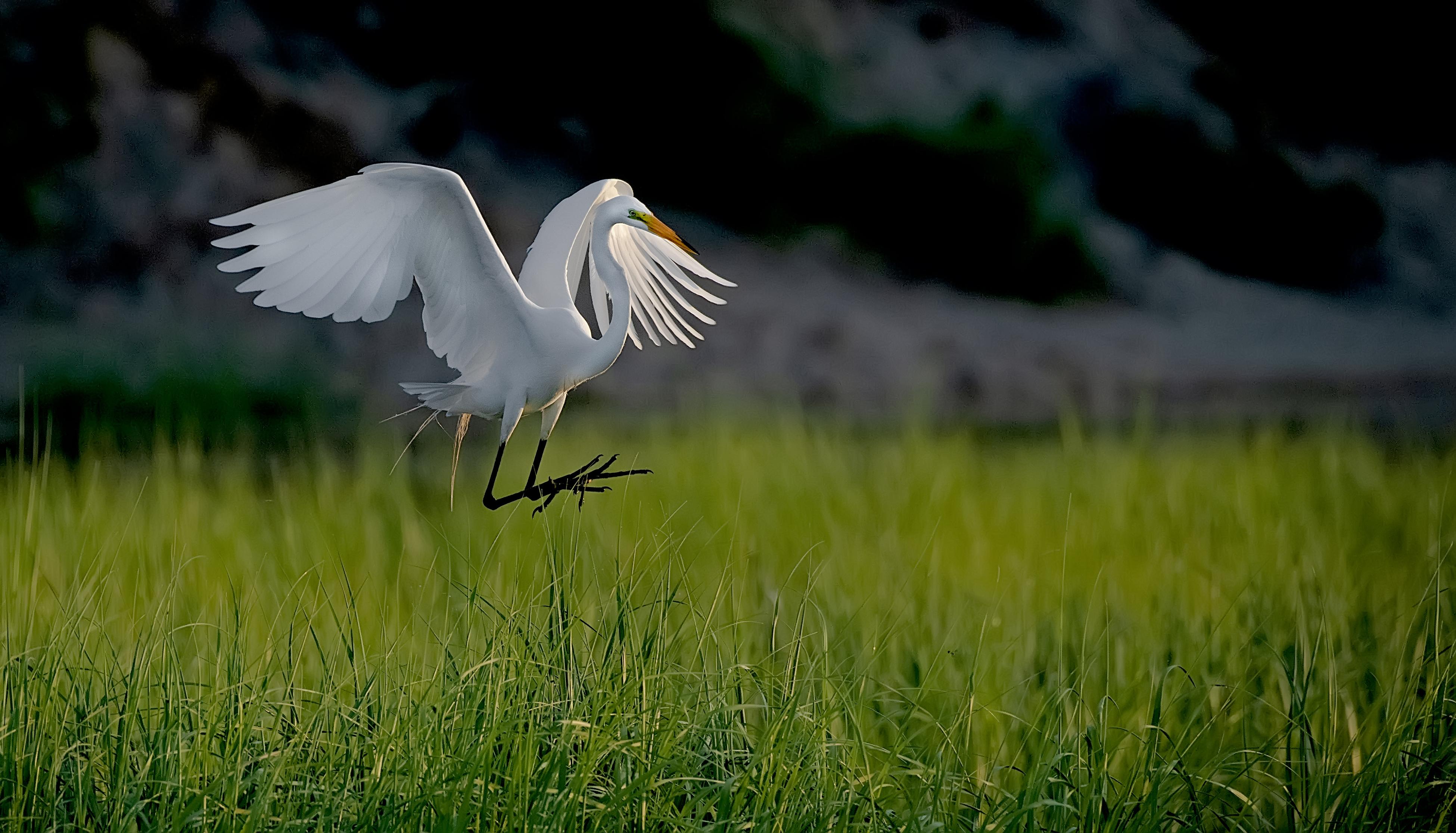 Egret-landing-in-Grass