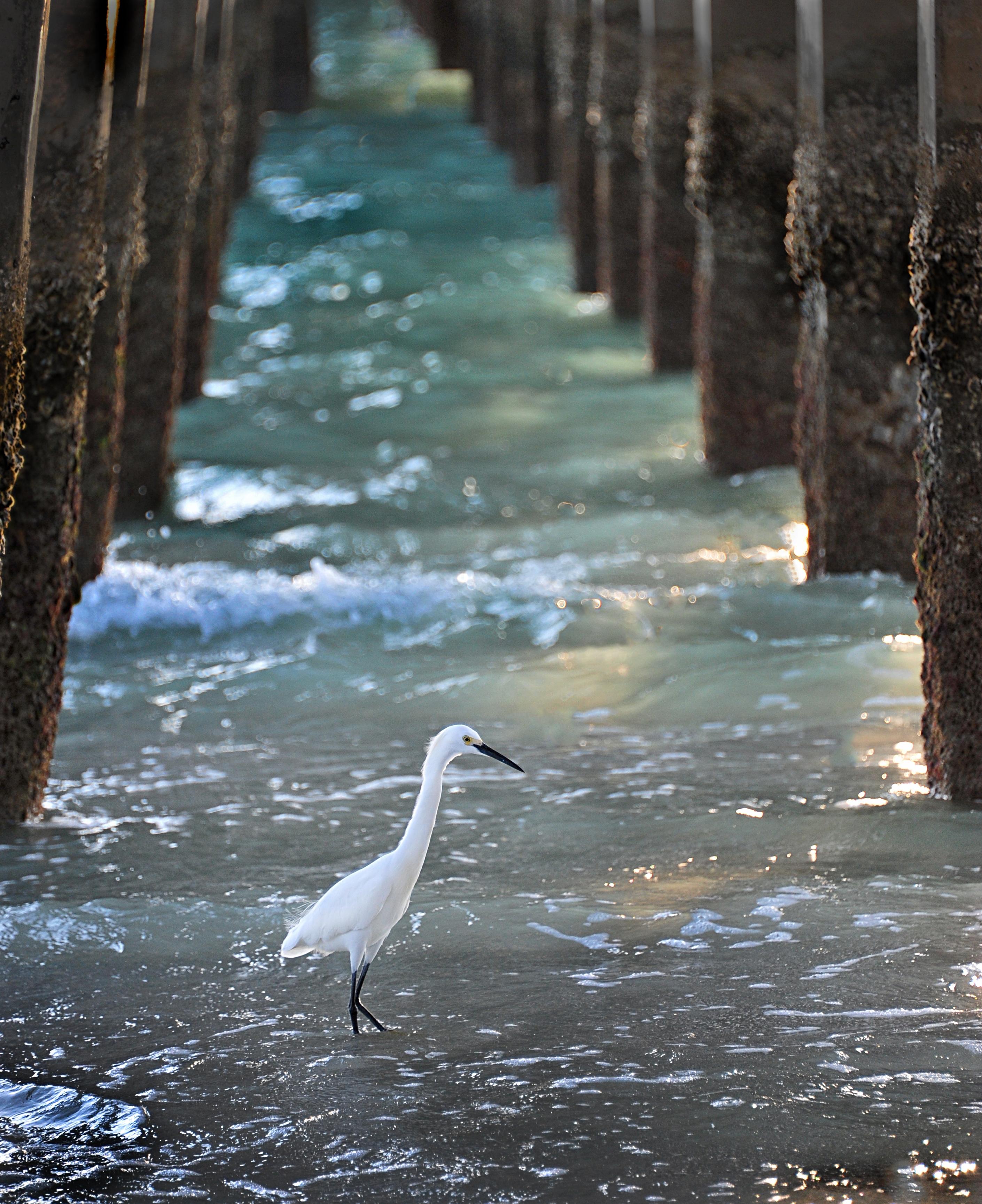 Egret-under-Piers