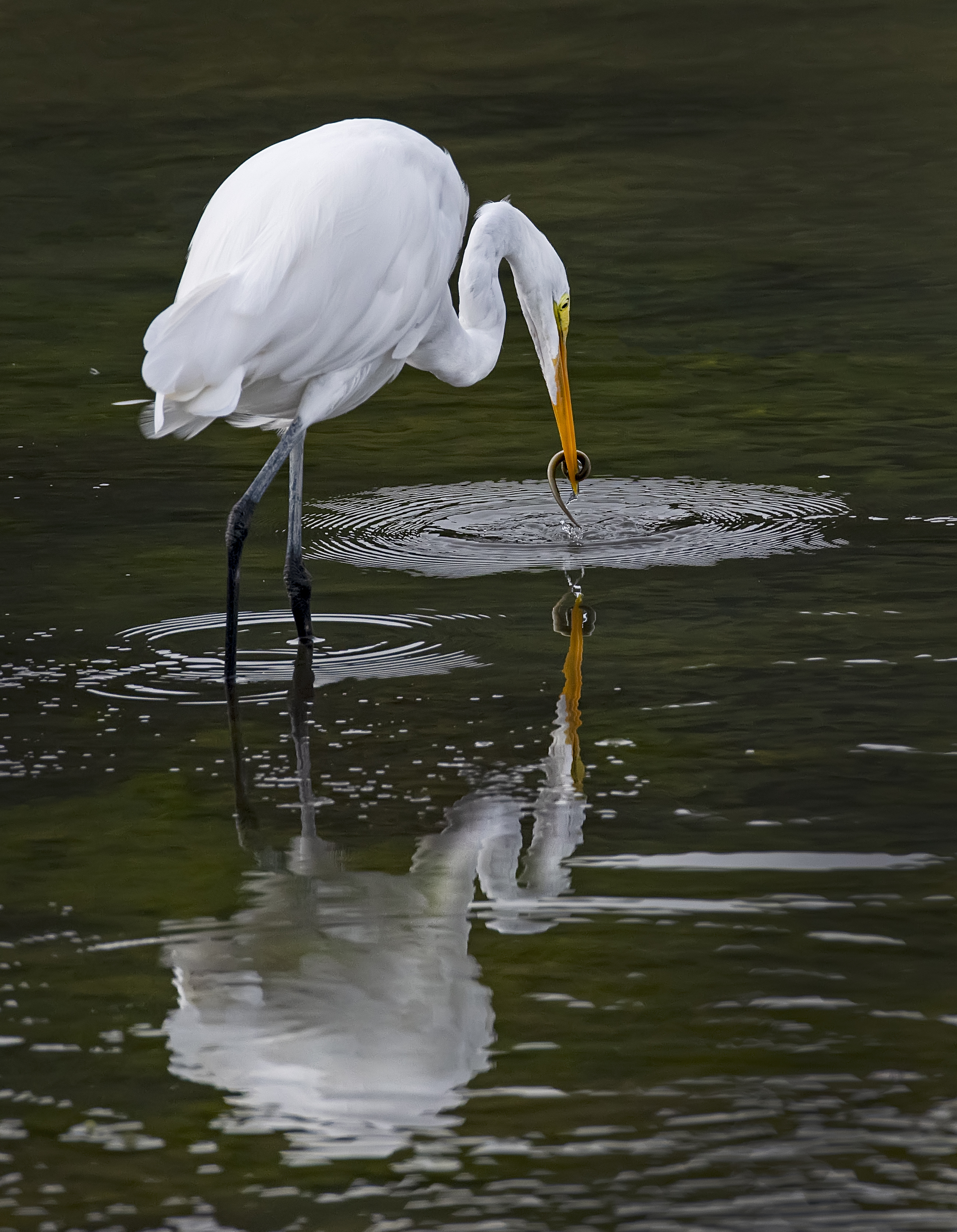 Egret-with-eel-reflection