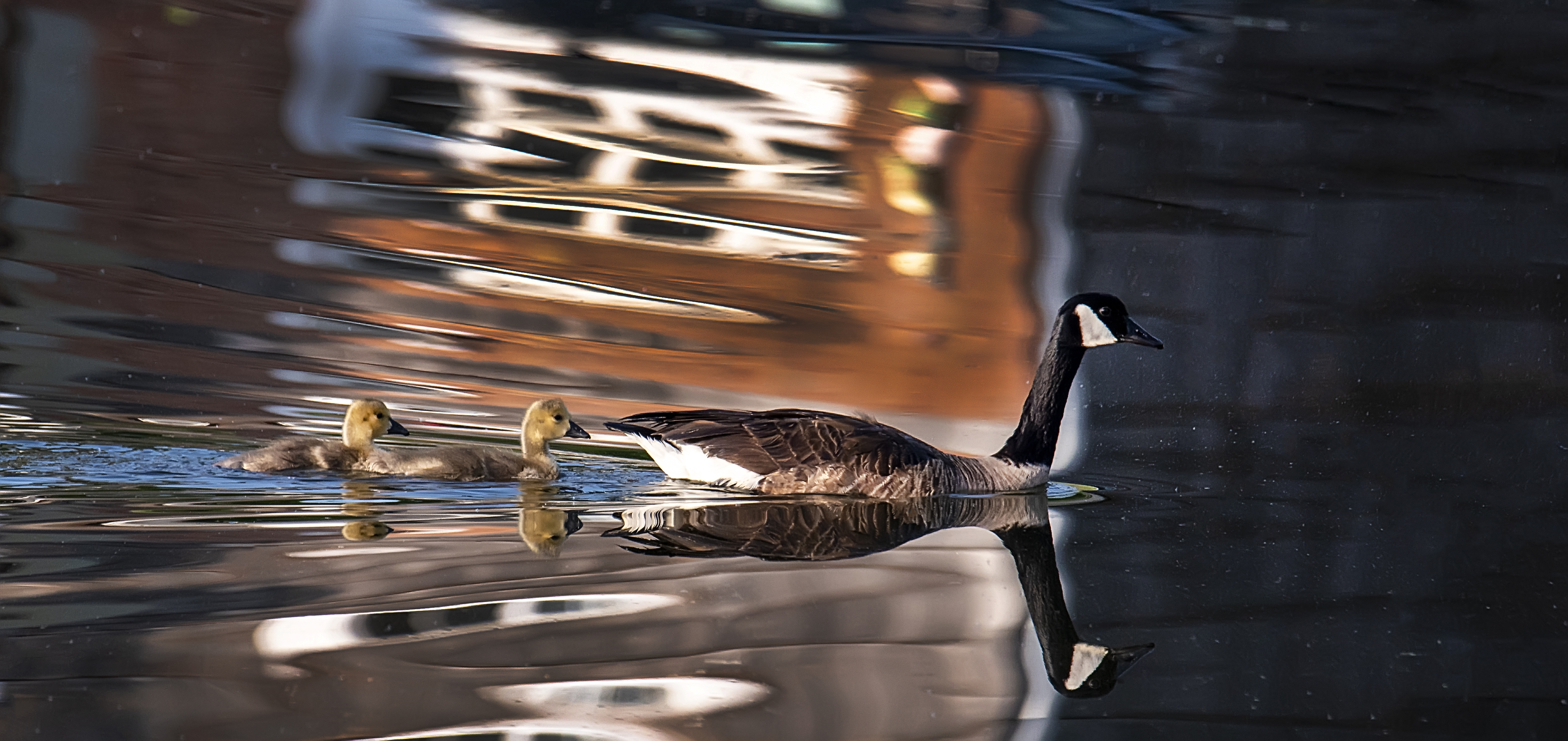 Goose-with-two-Goslings