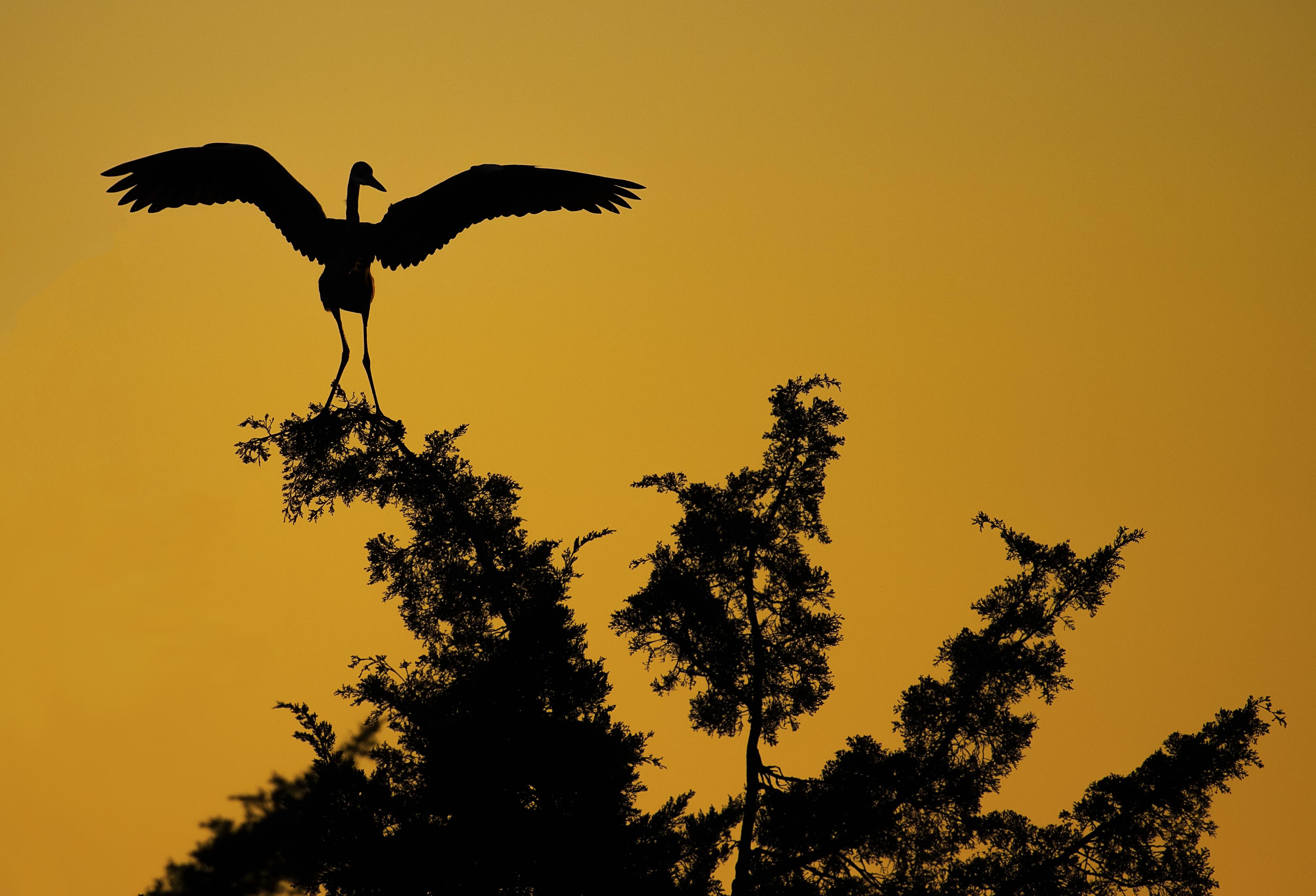 Great-Blue-Heron-Silhouette