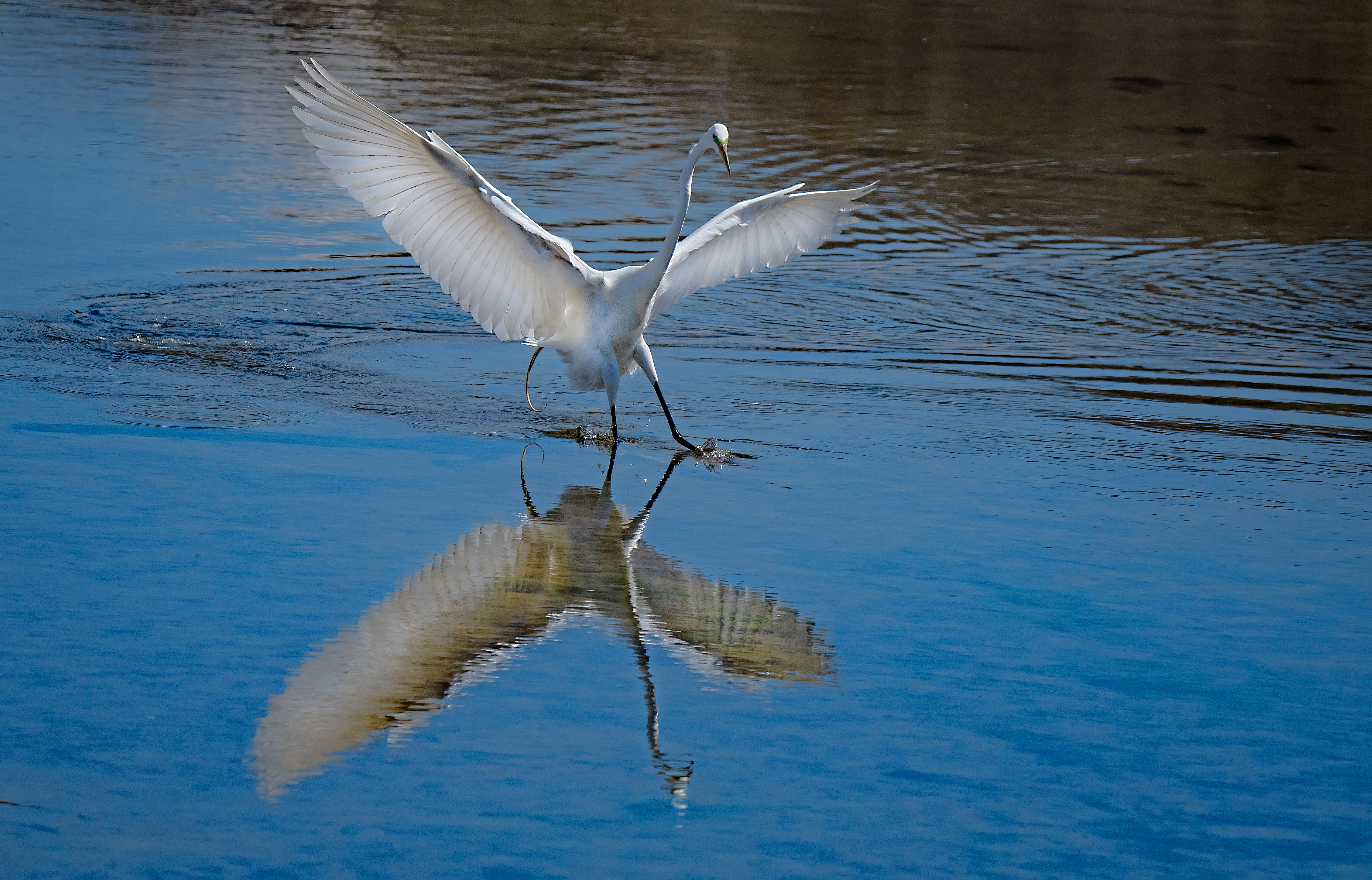 Great-Egret-Landing-reflection