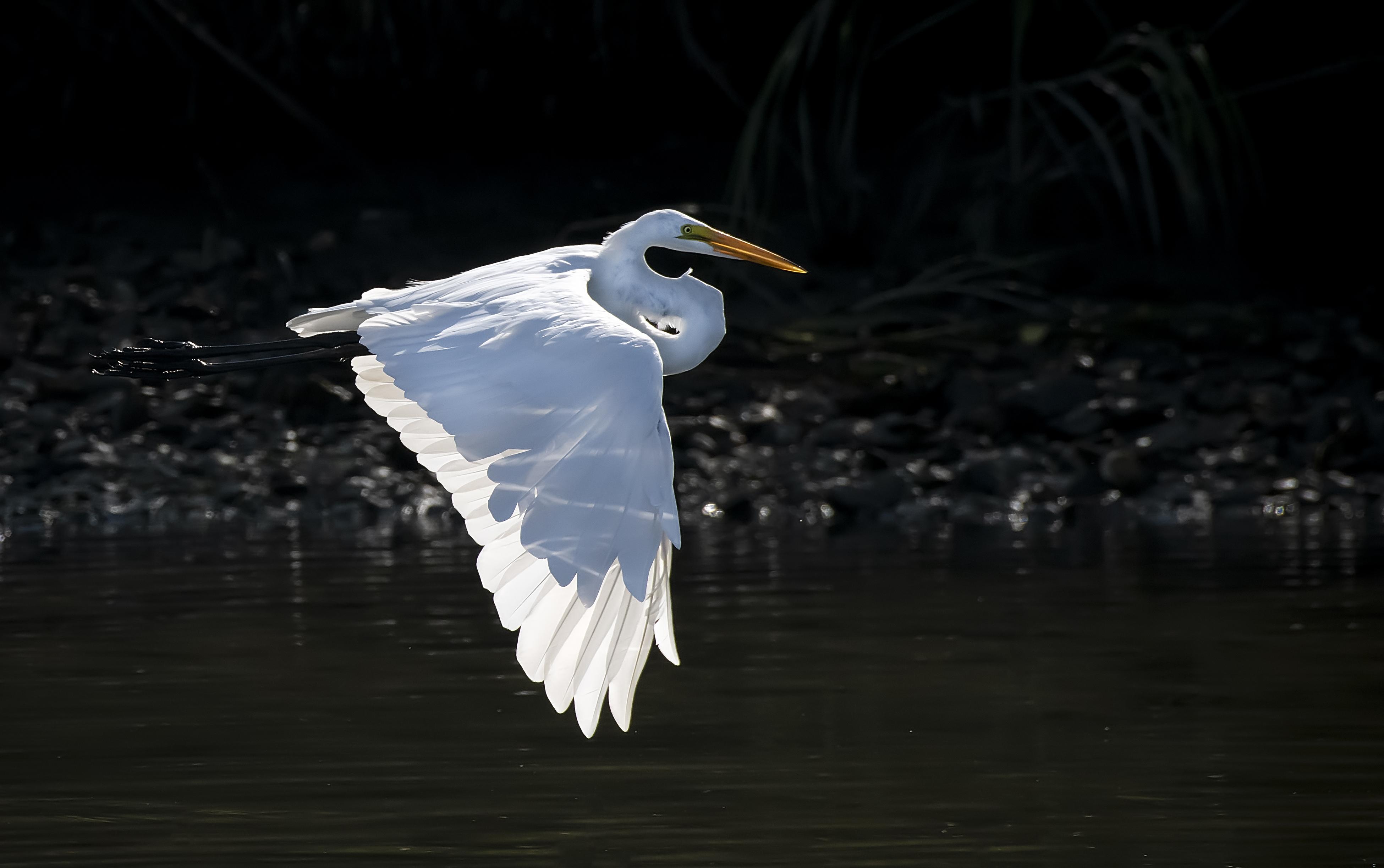 Great-Egret-in-flight