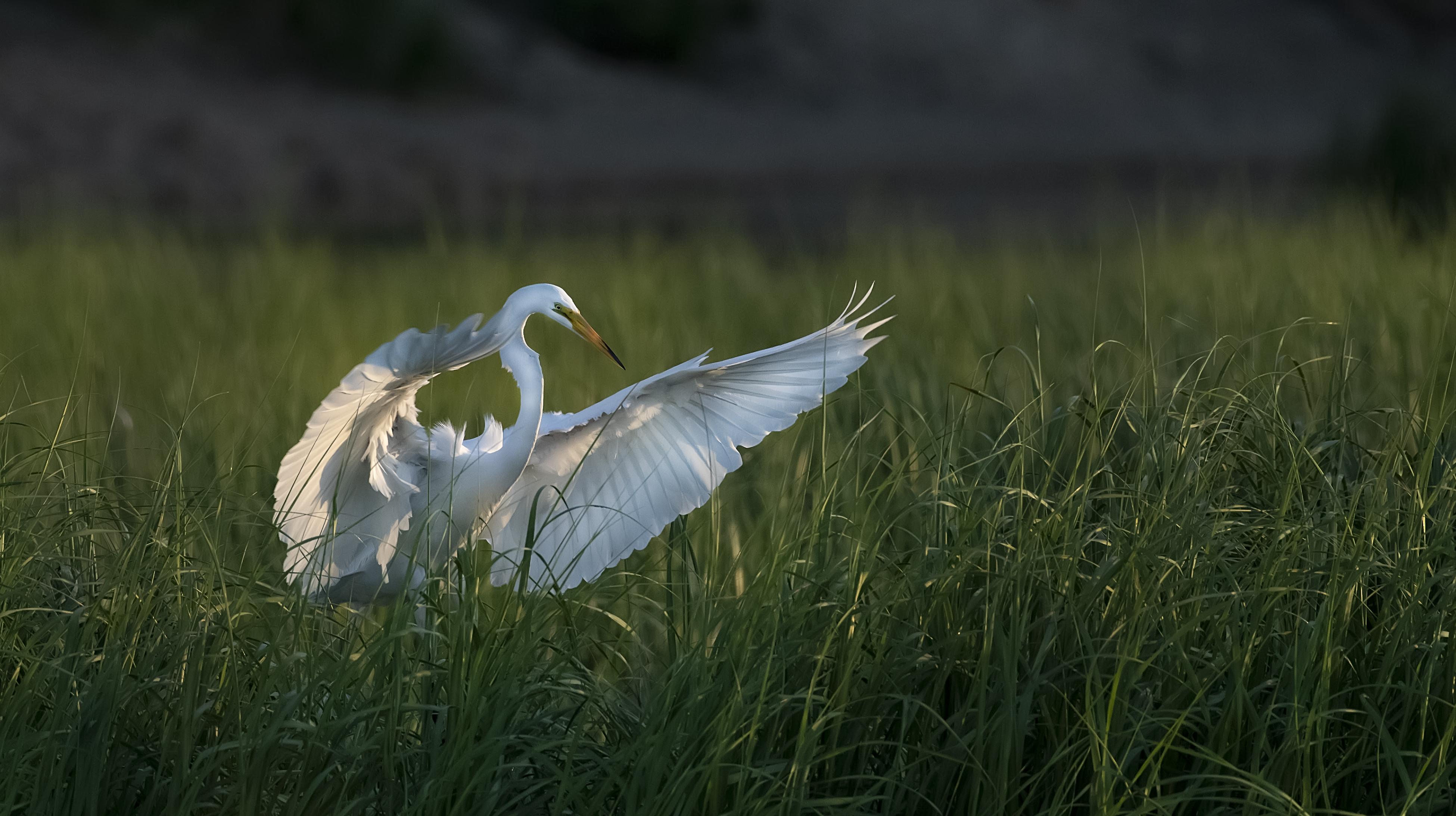 Great-Egret-landing-in-Grass-sunset