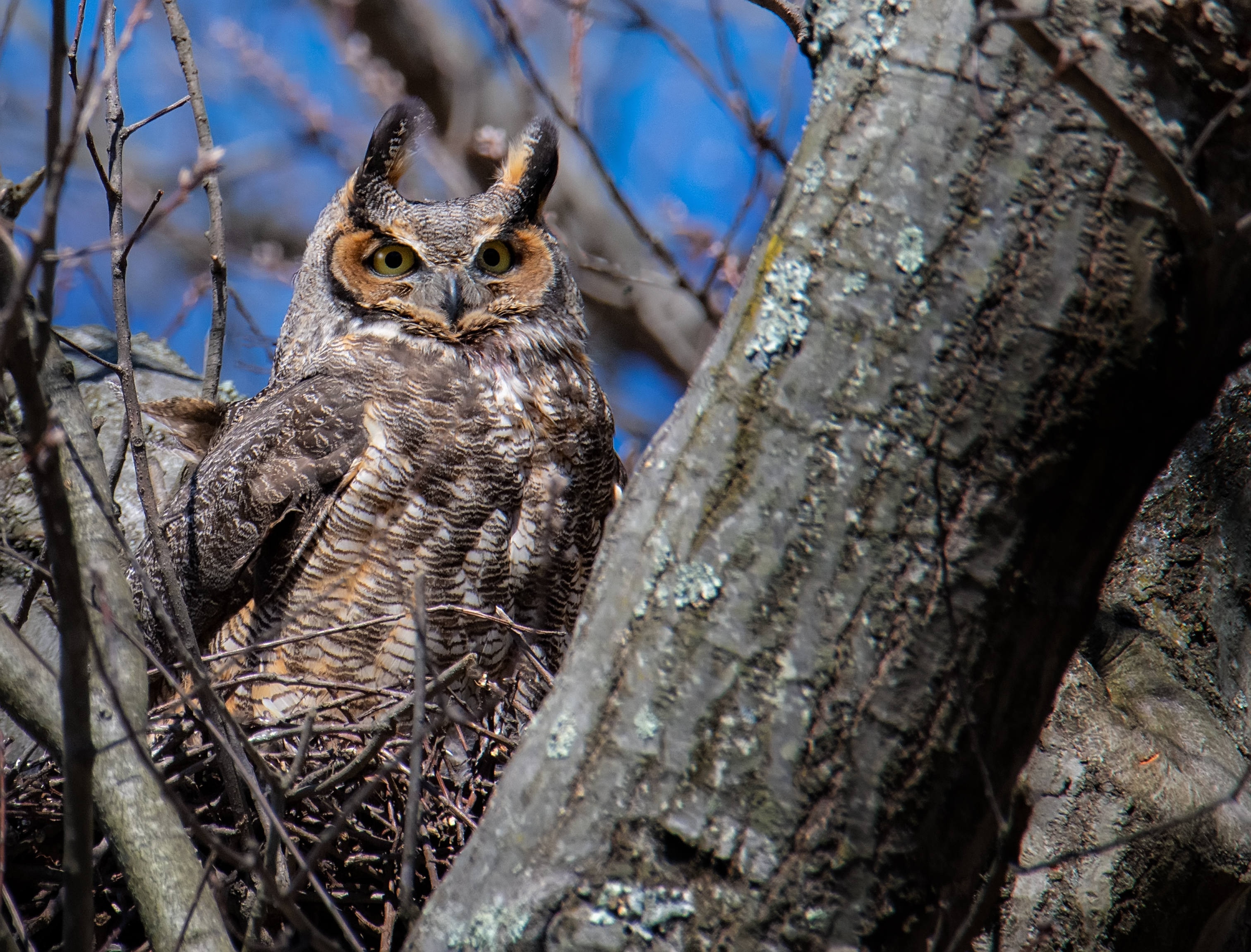 Great-Horned-Owl-pose