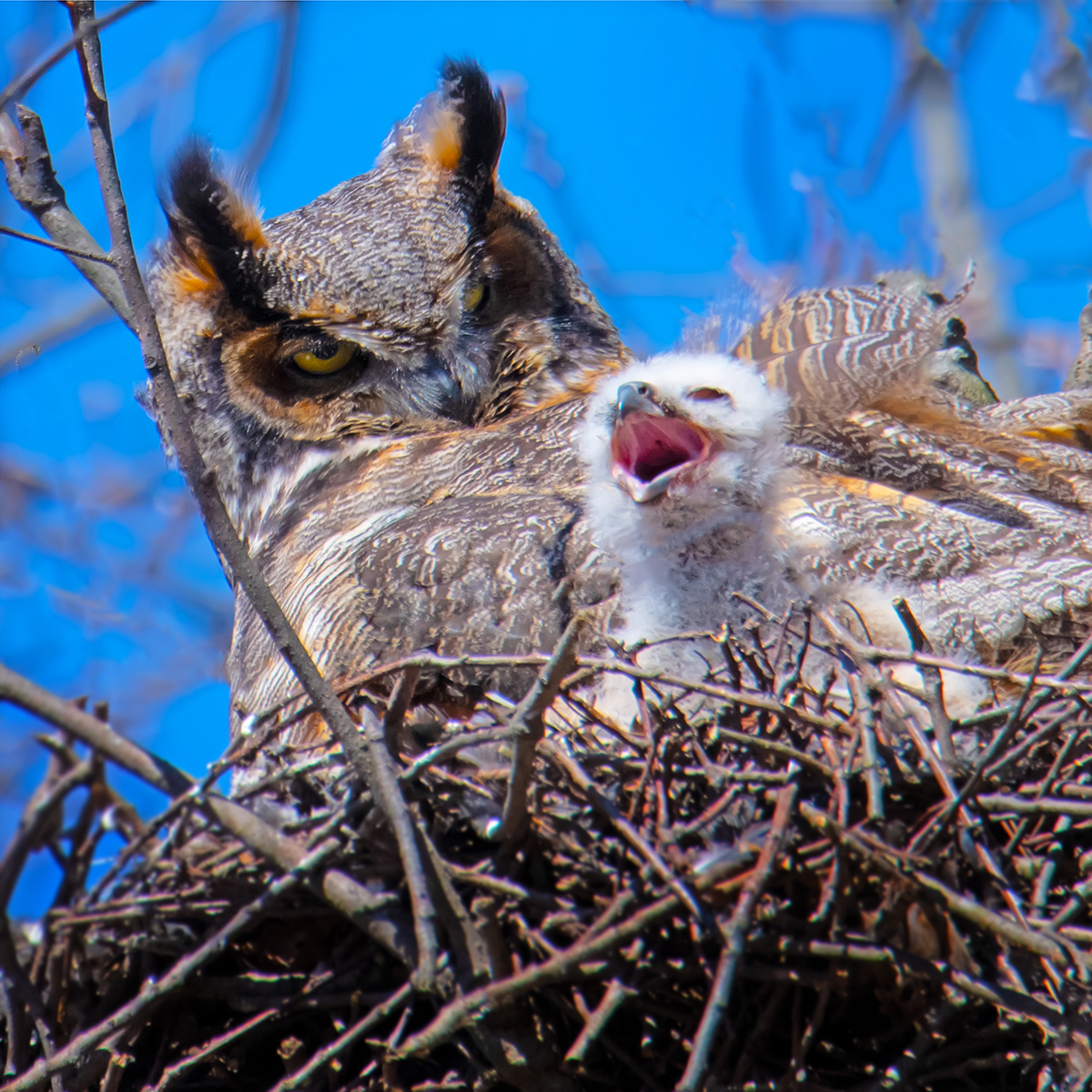 Long-Horned-Owl-and-Chick-S