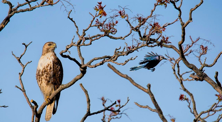 Tailed-Hawk-Blue-Jay-attack