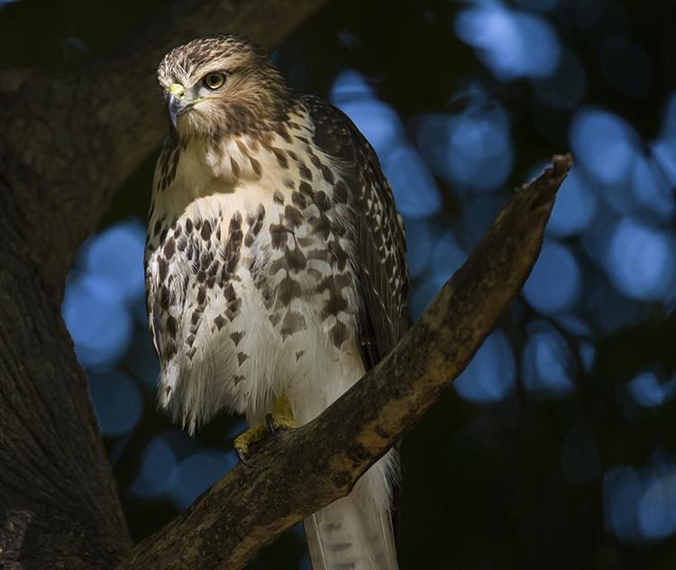 Hawk-Watching