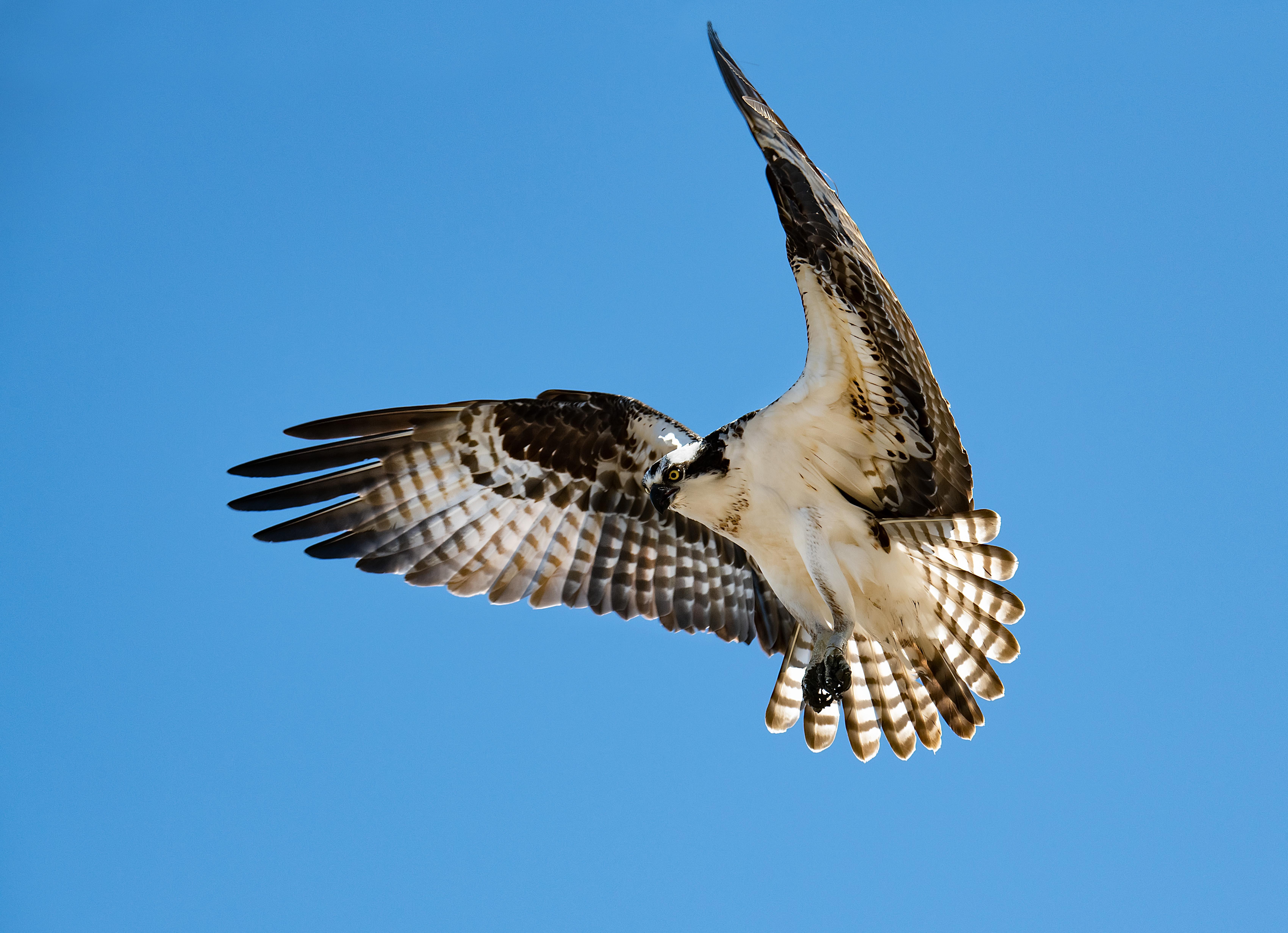 Osprey-Hovering