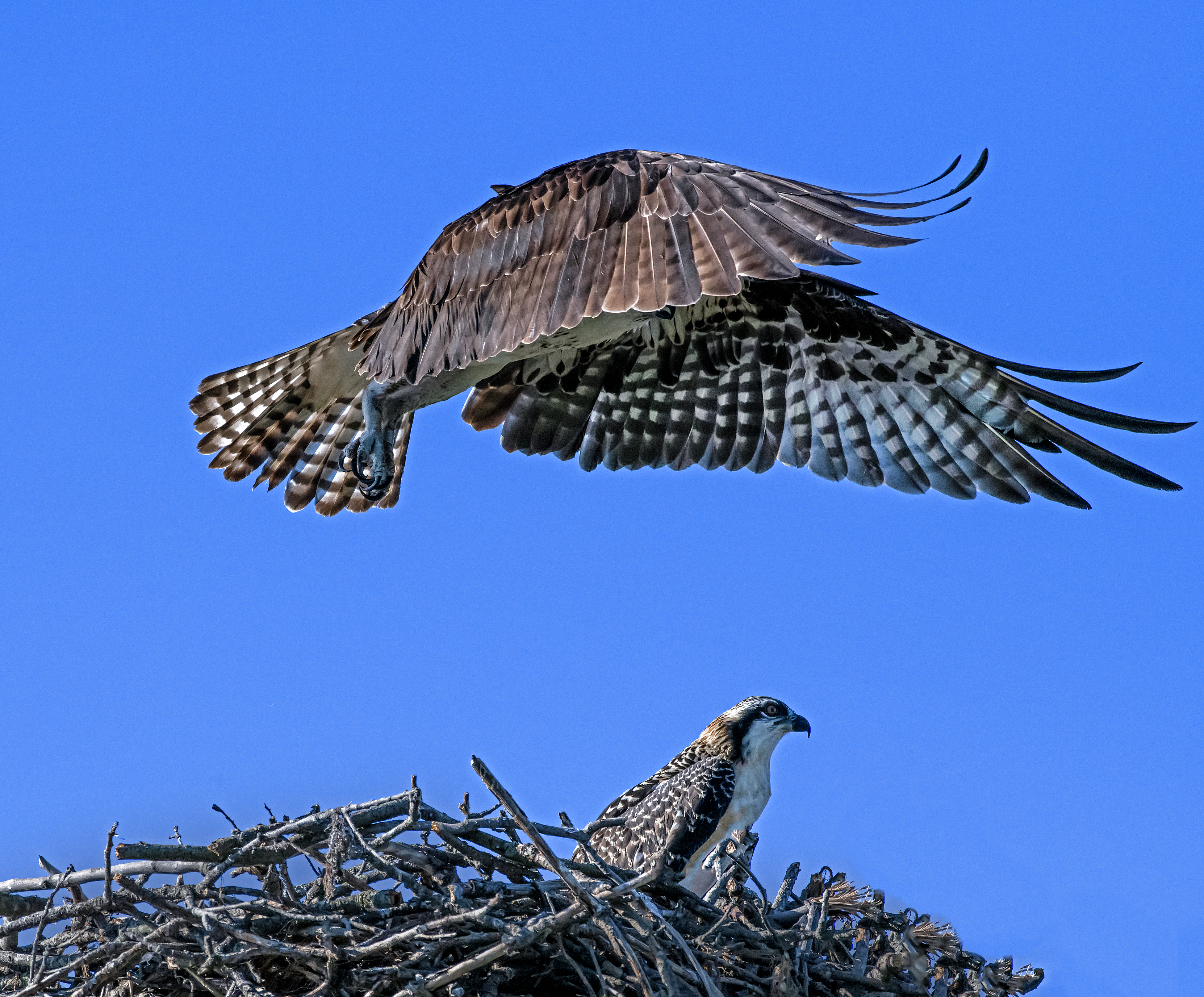 Osprey-Mother-Ship-came-to-take-her-home