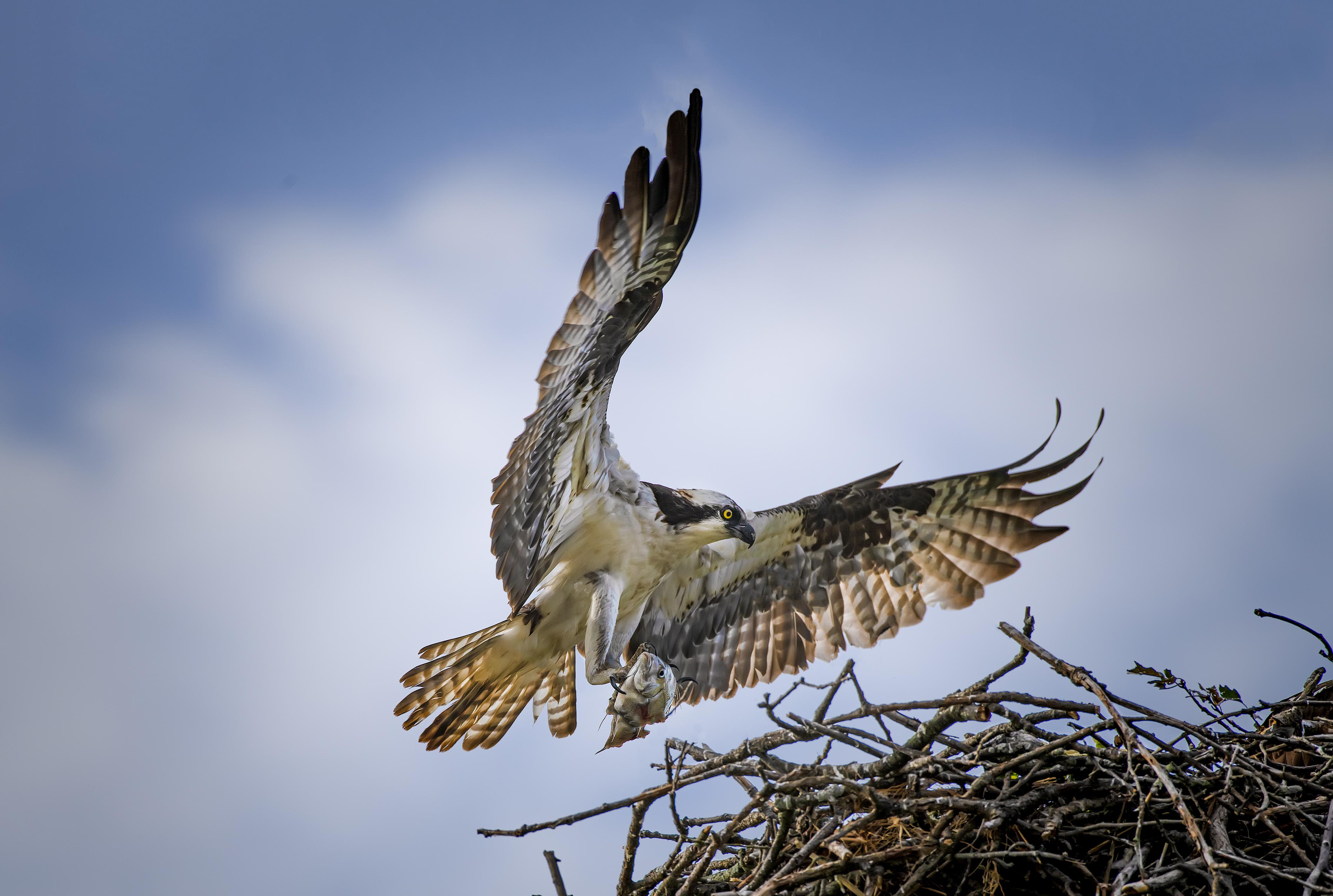 Osprey-fish-nest