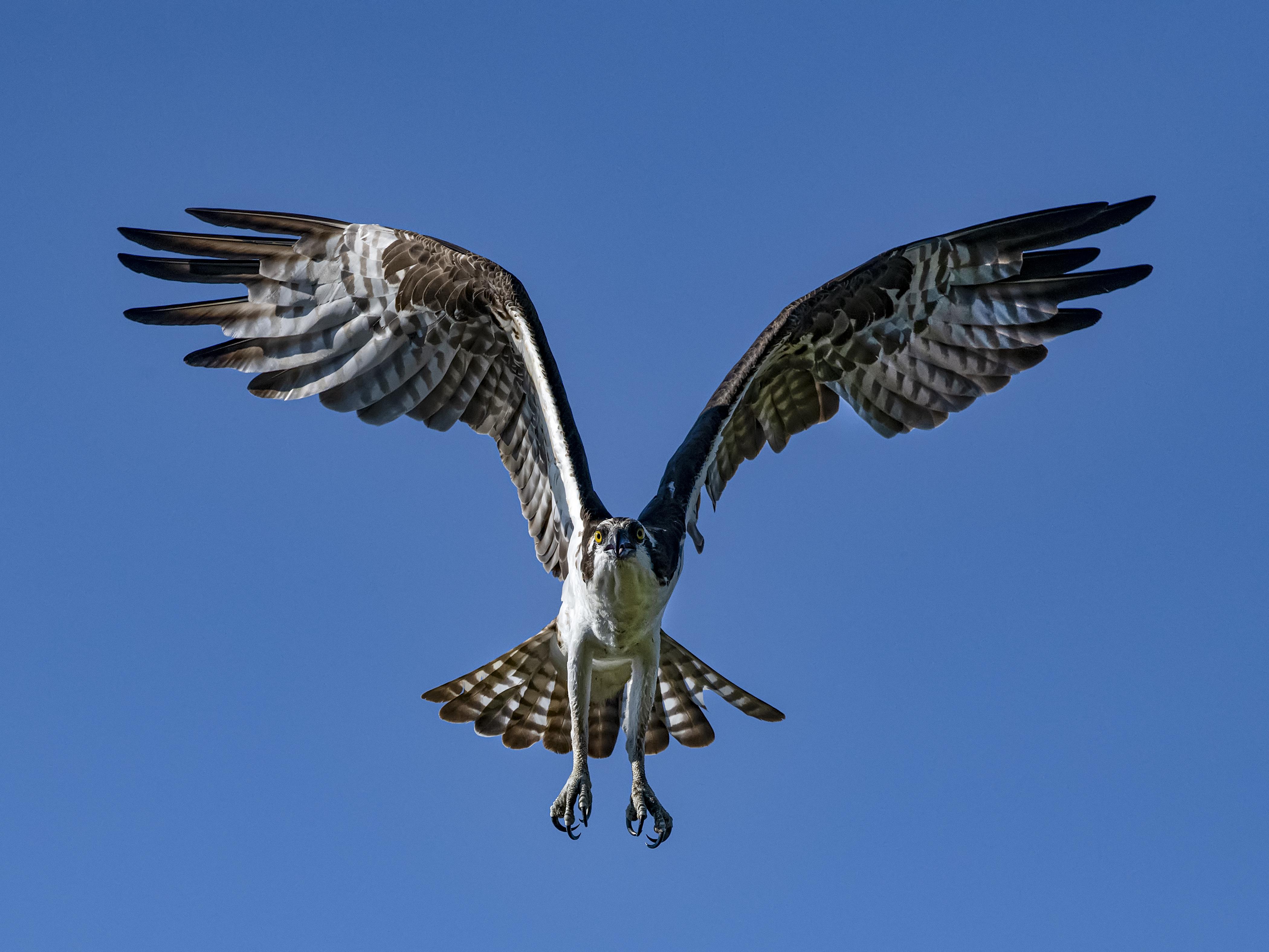 Osprey-flight-towards-me