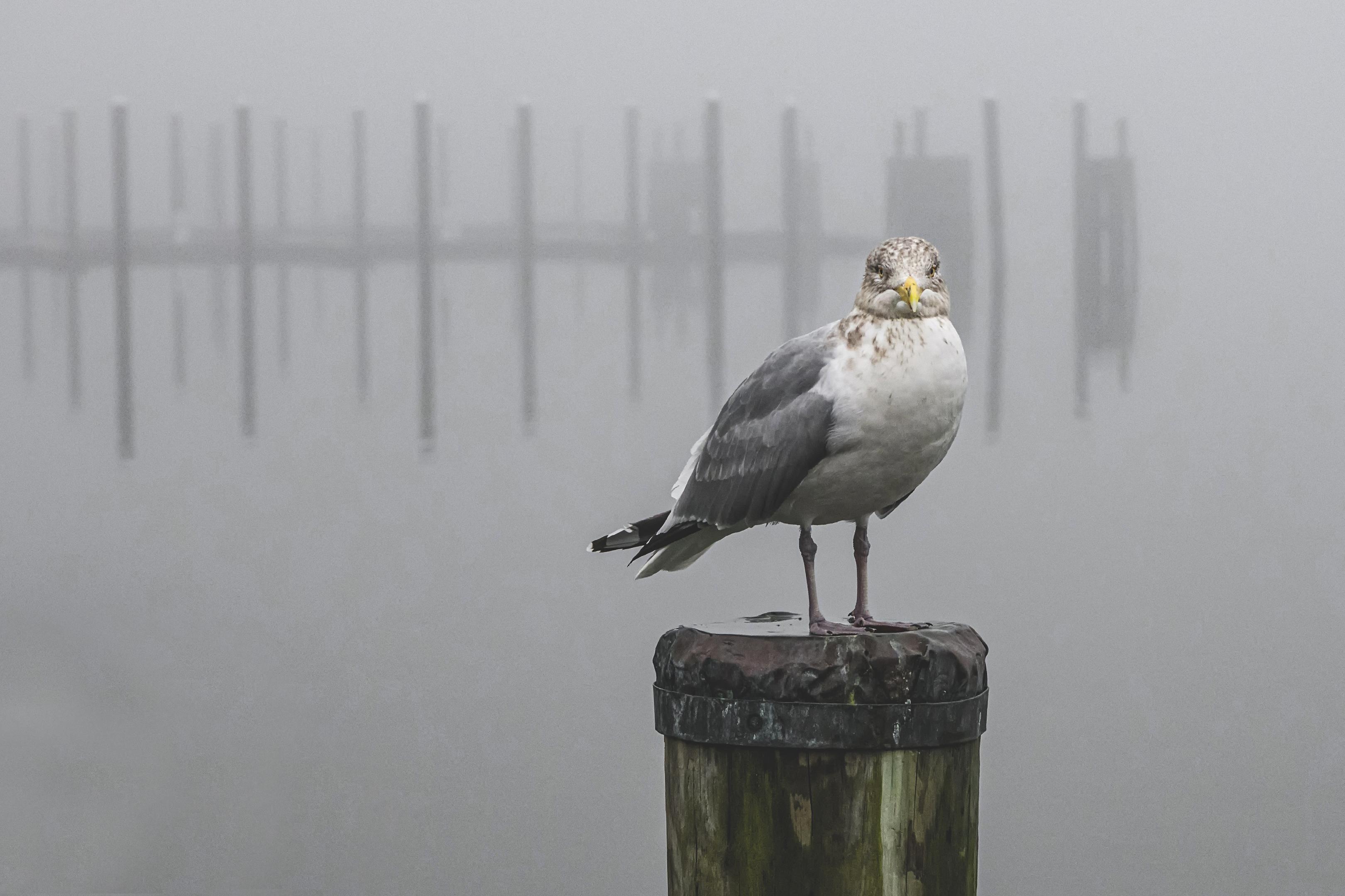 Seagul-in-Fog
