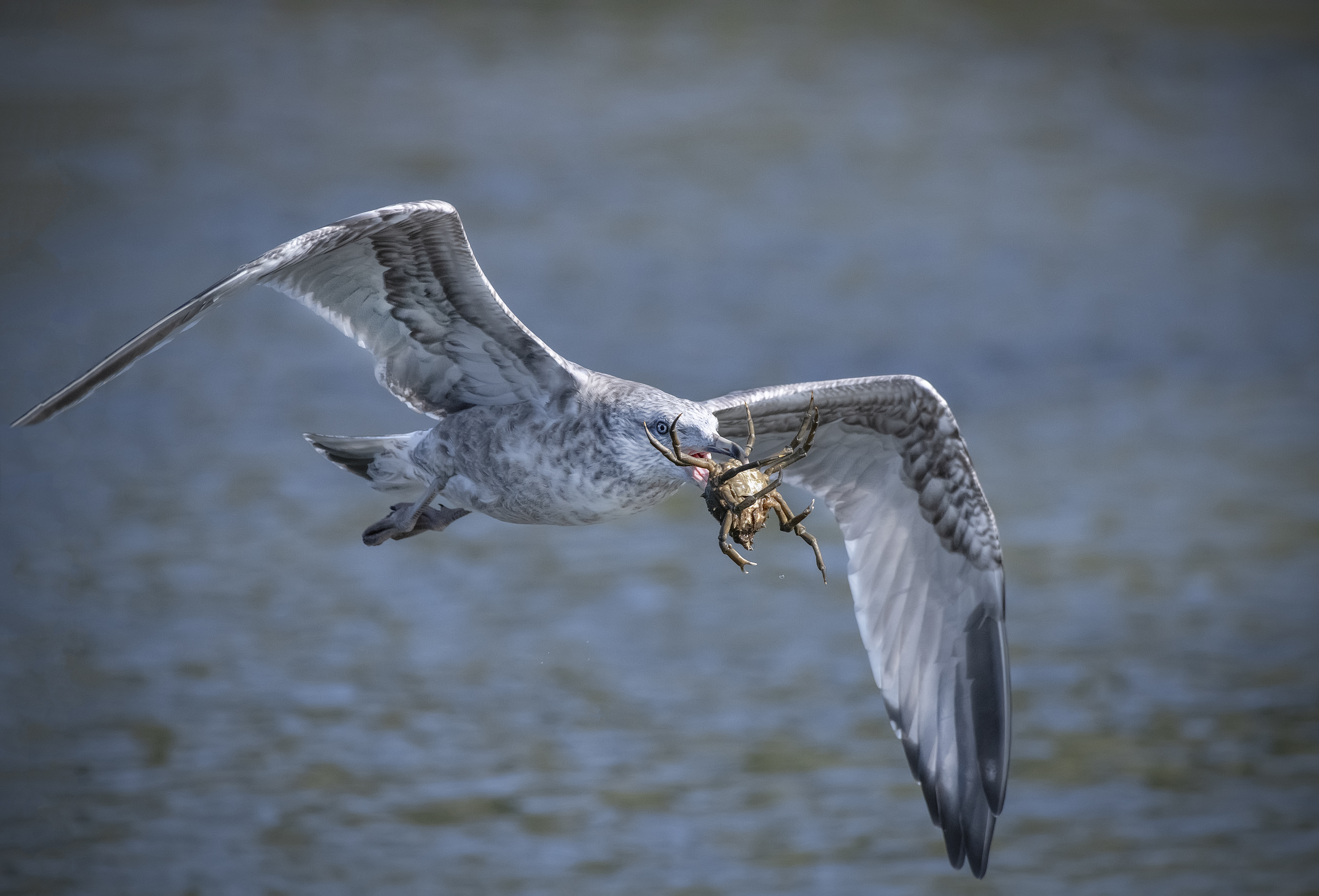 Seagul-with-spider-crab