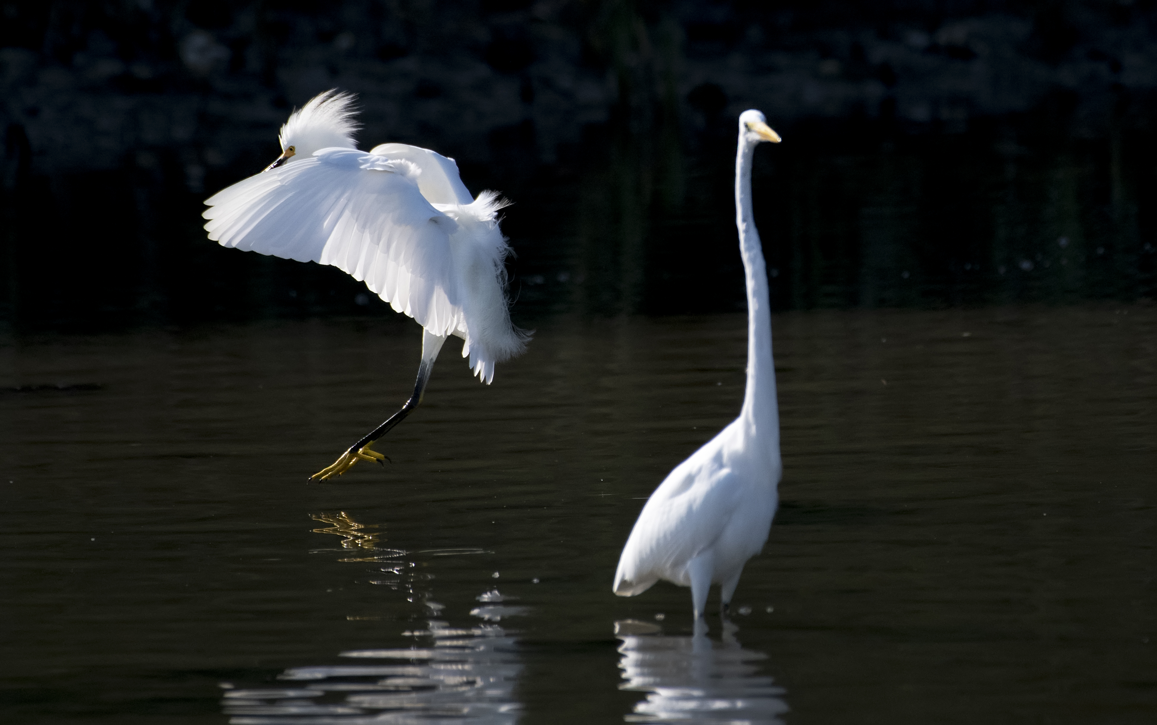 Snow-Egret-and-Great-Egret