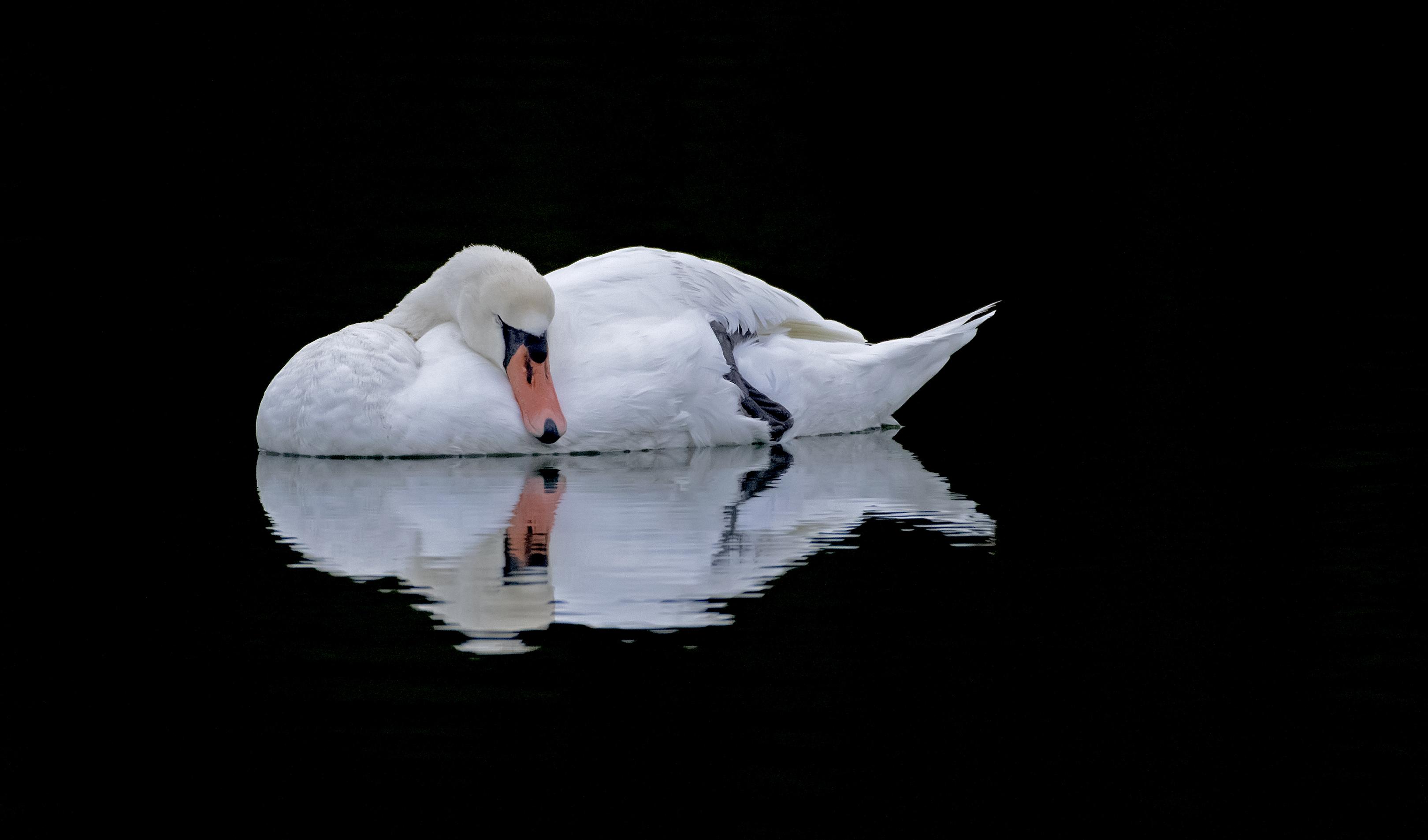 Swan-Sleeping-mirror