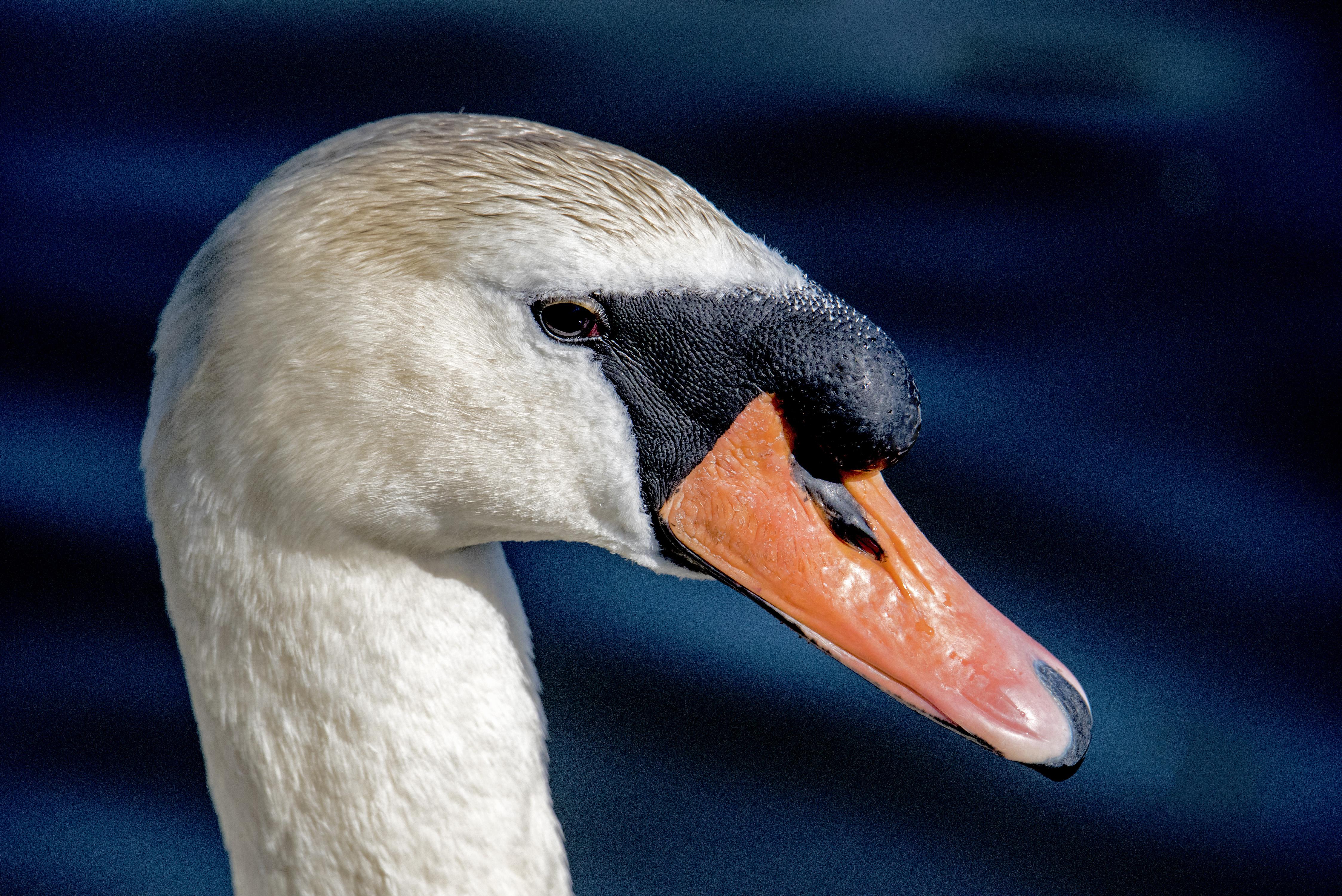 Swan head shot