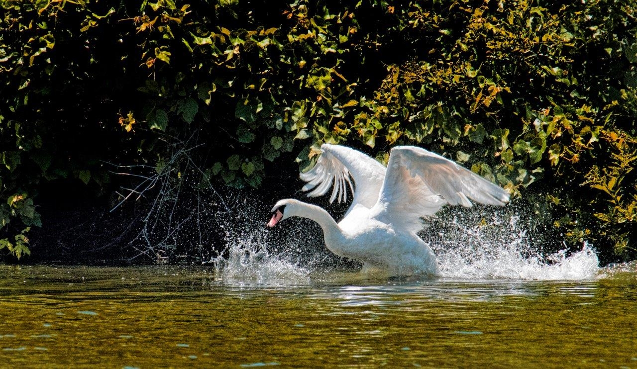 Swan-on-the-move