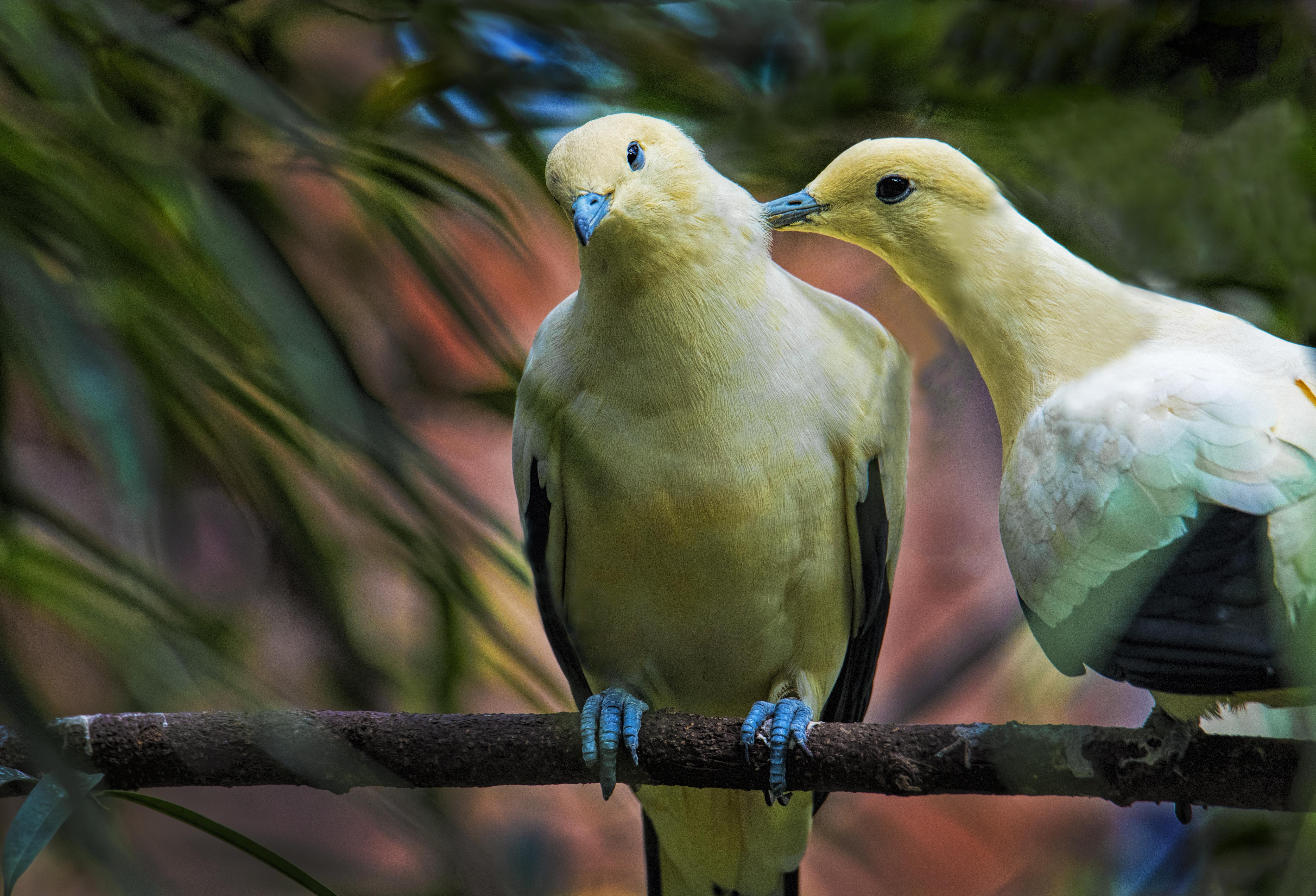 Yellow-birds-peck