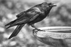1_Crow-at-Bird-Bath