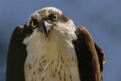 1_Osprey-in-Tree-closeup4-10-20