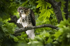 1_Red-Tailed-Hawk-Juvenile-scratching