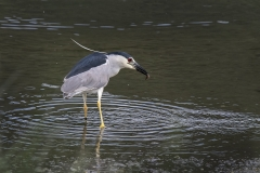 Black-Crowned-Night-Heron-feather-up