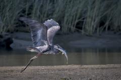 Blue-Heron-big-fish